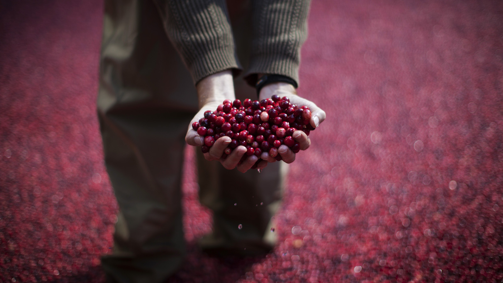 An employee of the Ocean Spray company holds cranberries as he stands in a pool of some 2000 pounds (907 kg) of floating cranberries at a promotional cranberry bog display set up at New York's Rockefeller Center, October 17, 2014. The exhibit in the heavily trafficked area of midtown Manhattan has cranberry farmers and scientists from the company on hand to answer questions about their cranberry products' health benefits and the growing process.  REUTERS/Mike Segar   (UNITED STATES - Tags: SOCIETY FOOD AGRICULTURE BUSINESS TPX IMAGES OF THE DAY) - RTR4ALZG