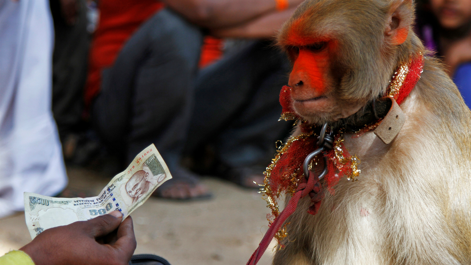 A man with his monkey holds a 500 Indian rupee banknote given by a tourist while performing at Pushkar Fair, where animals mainly camels are brought to be sold and traded in the desert Indian state of Rajasthan, India, November 9, 2016.