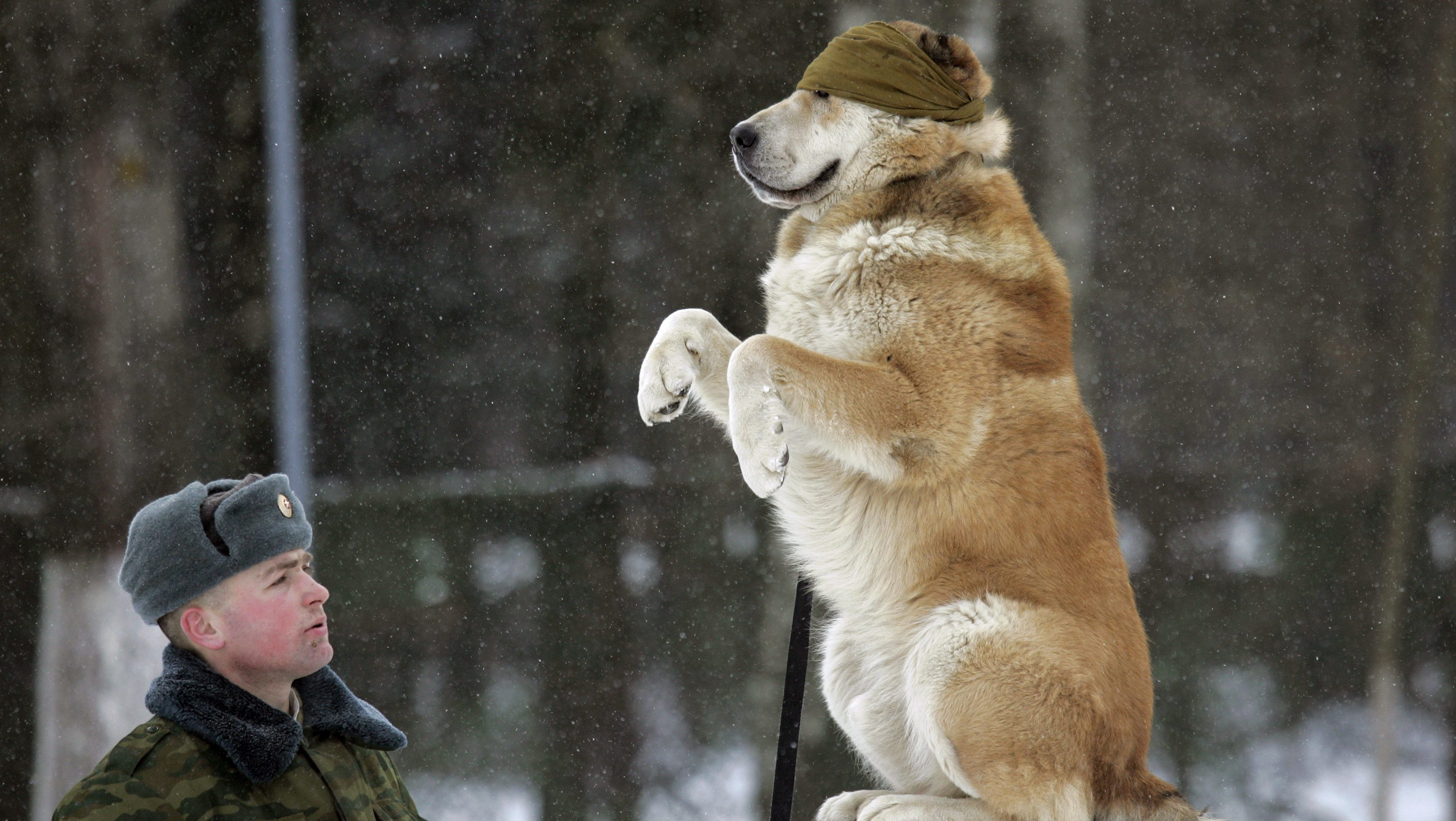 A blindfolded dog sits on a balance beam at a dog training ground of the Belarussian Defence Ministry near the village of Kolodishchi outside Minsk January 25, 2007. After completing the training the dogs will fulfill a variety of tasks in the military such as seeking explosives, mines or drugs.     REUTERS/Vasily Fedosenko (BELARUS) - RTR1LLU4