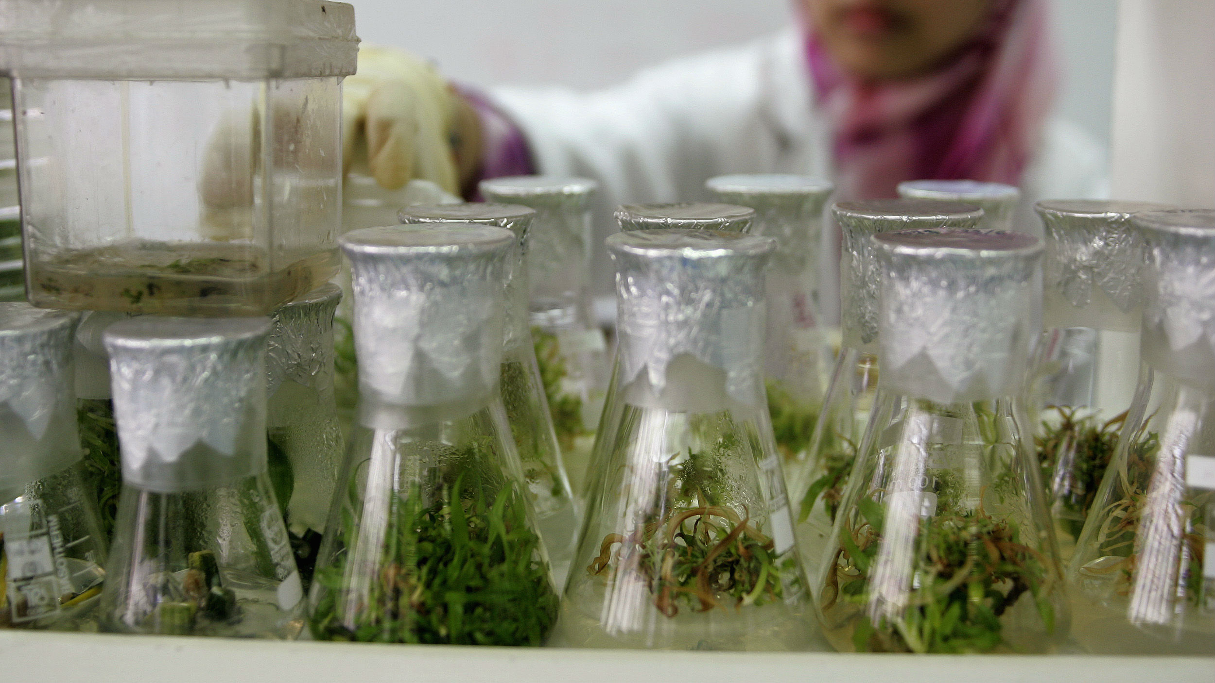 Glass beakers filled with a plant in a lab setting.