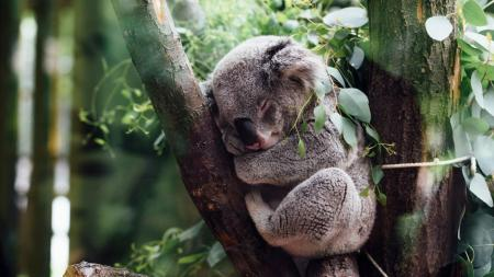 A koala dreams of helping people relax