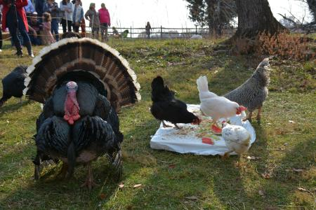 a turkey at the Thanksgiving for the Turkeys event at Poplat Springs Animal Sanctuary