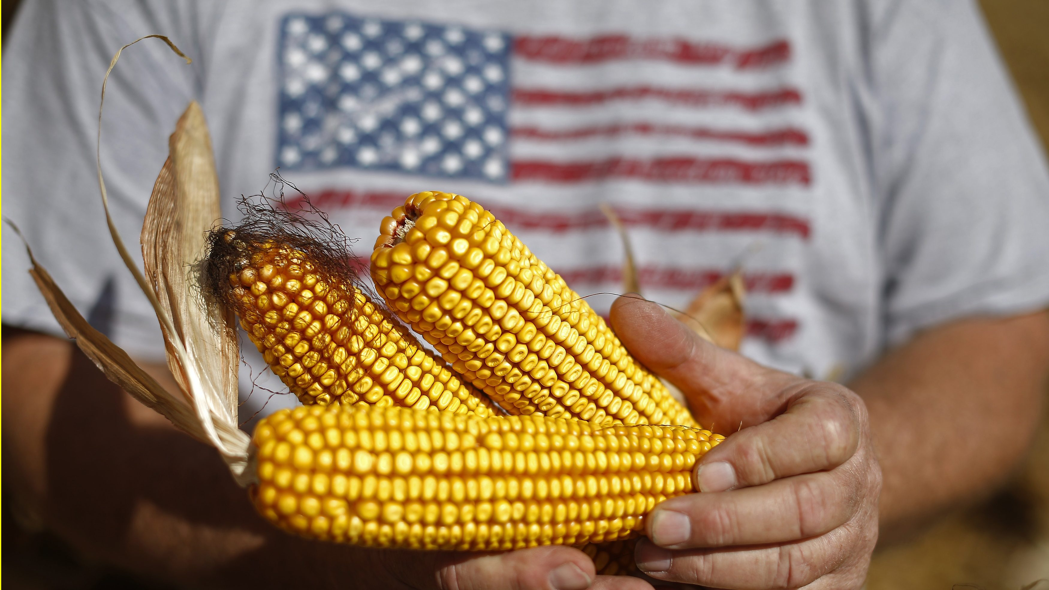 Farmer Dan Roberts holds cobs of corn during the harvest in Minooka, Illinois, September 24, 2014.  Spot basis bids for corn and soybeans were lower at processors and elevators amid slow farmers sales around the U.S. Midwest on Wednesday, dealers said.