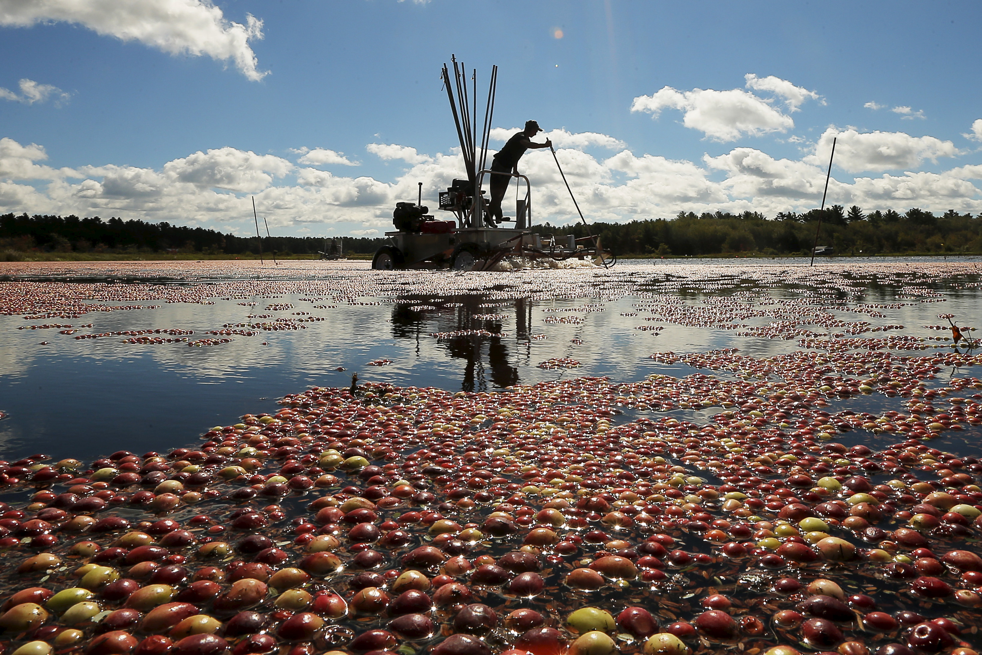 cranberry harvest in bog