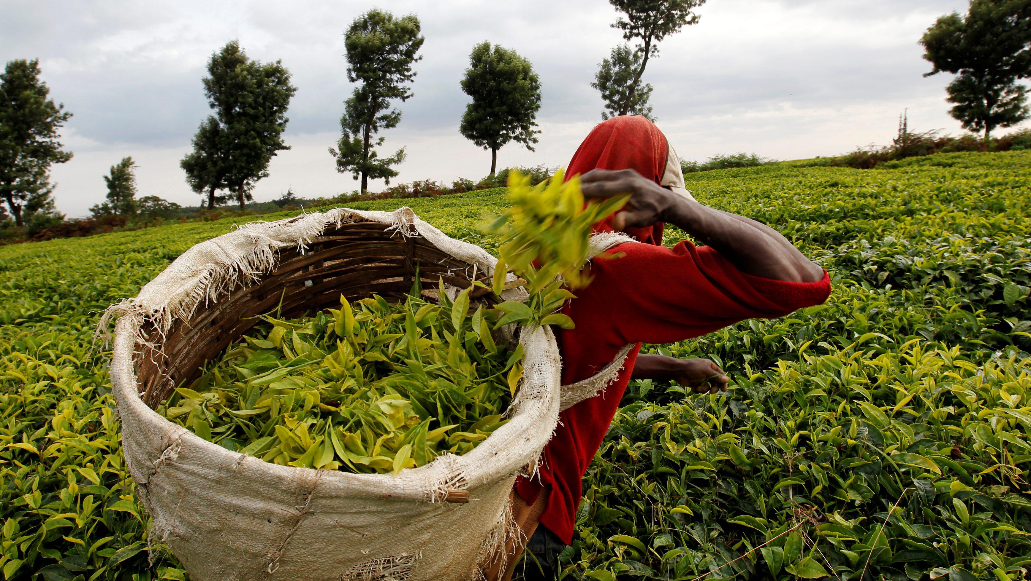 A worker picks tea at a plantation in Githunguri near Kenya's capital Nairobi