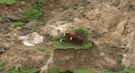 In this image made from video, three cows are stranded on an island of grass in a paddock that had been ripped apart following an earthquake near Kaikoura, New Zealand Monday, Nov. 14, 2016. A powerful earthquake that rocked New Zealand on Monday triggered landslides and a small tsunami, cracked apart roads and homes, but largely spared the country the devastation it saw five years ago when a deadly earthquake struck the same region.