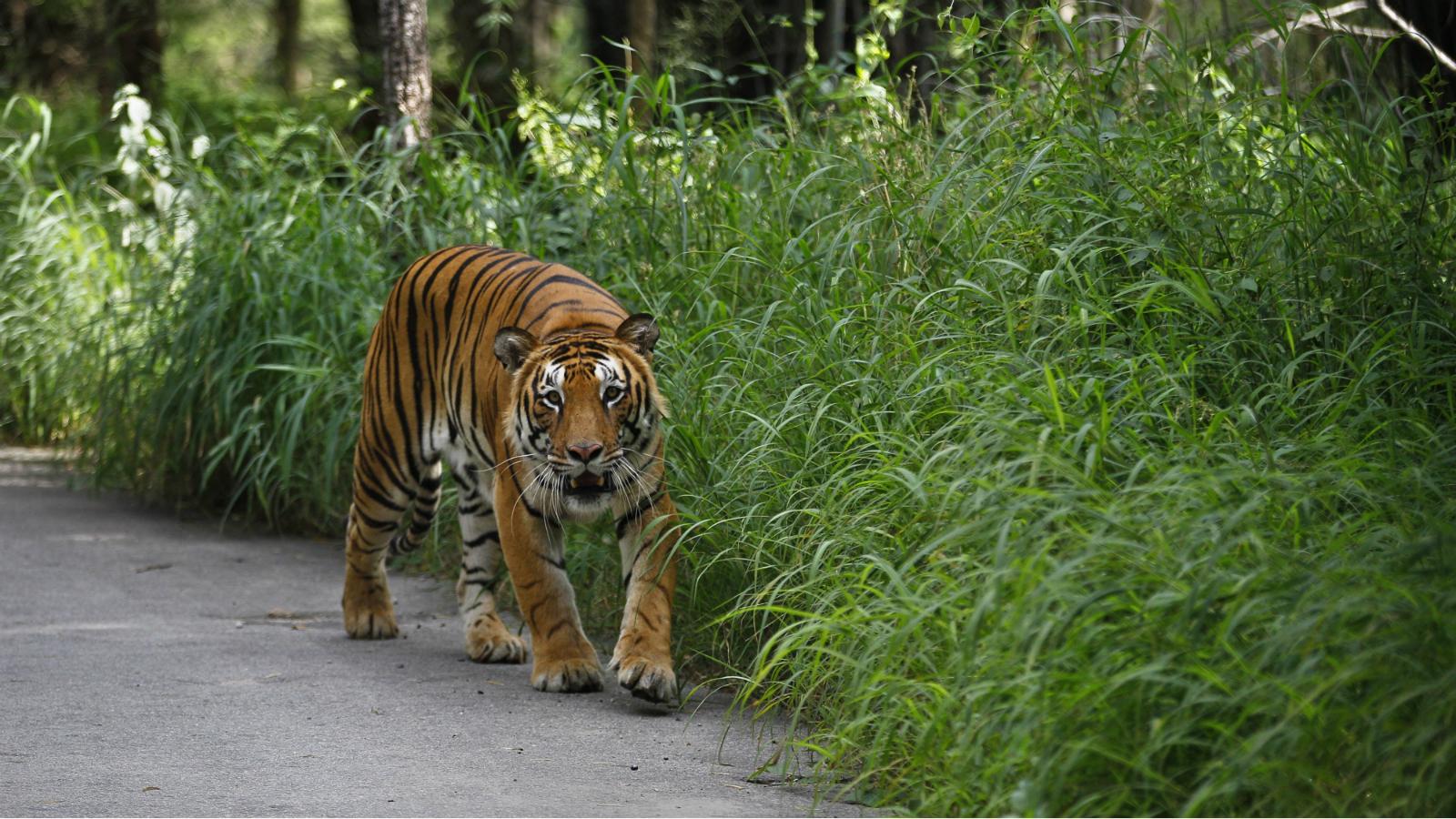 India-Tiger-Wildlife-Environment