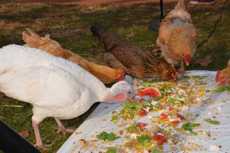 a turkey and chickens feast at the Thanksgiving for the Turkeys event at Poplat Springs Animal Sanctuary