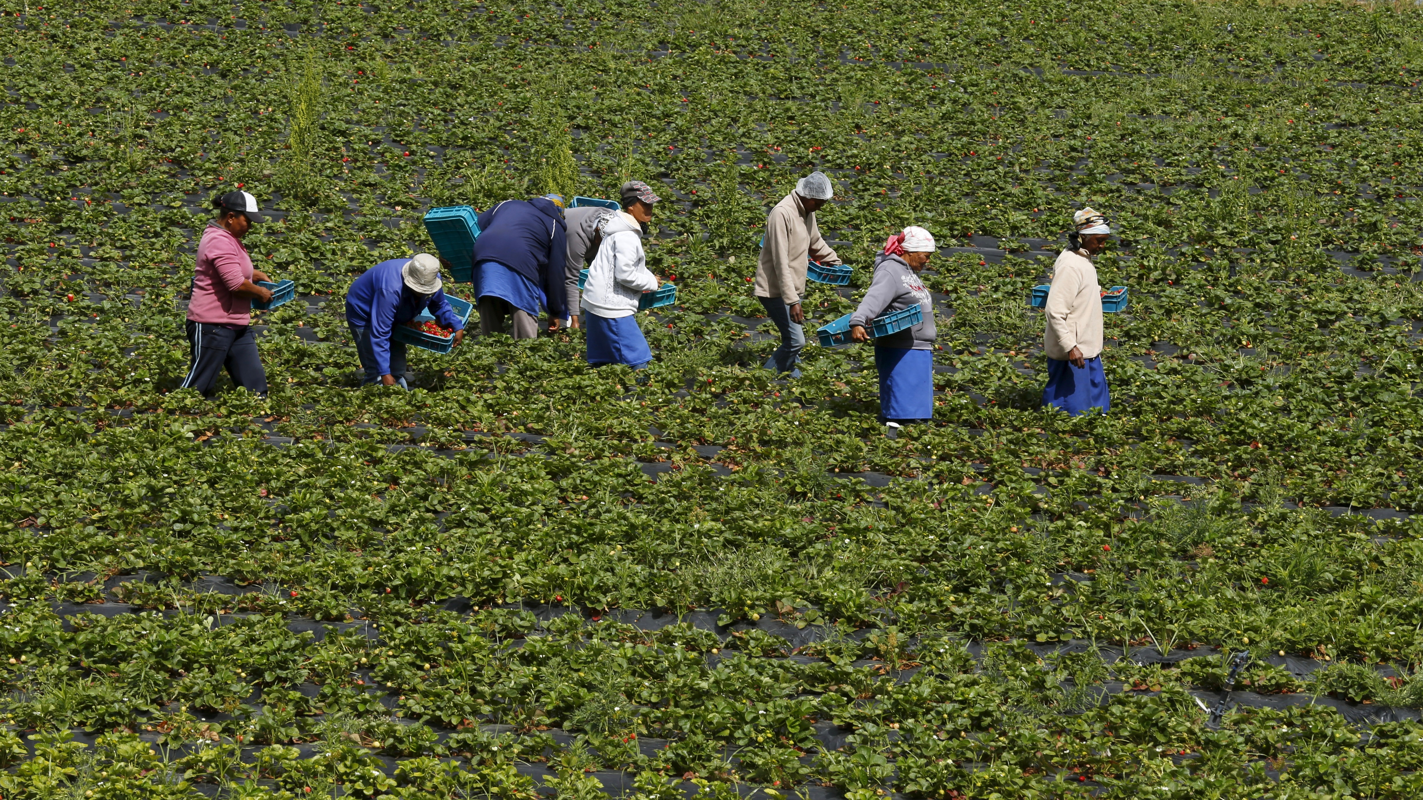Workers pick strawberries at a farm near Stellenbosch, South Africa, November 13, 2015. U.S. President Barack Obama said last week that he planned to revoke duty-free status for South African agricultural goods in 60 days under a program set up to help African exporters. Picture taken November 13, 2015. REUTERS/Mike Hutchings - RTS7KEE