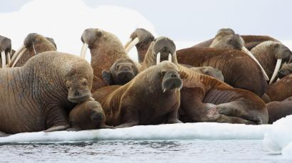 In this July 17, 2012, file photo, adult female walruses rest on an ice flow with young walruses in the Eastern Chukchi Sea, Alaska. Ten environmental groups Tuesday, June 2, 2015, sued a federal agency over its approval of a plan by Royal Dutch Shell PLC for exploratory petroleum drilling off Alaska's northwest coast.