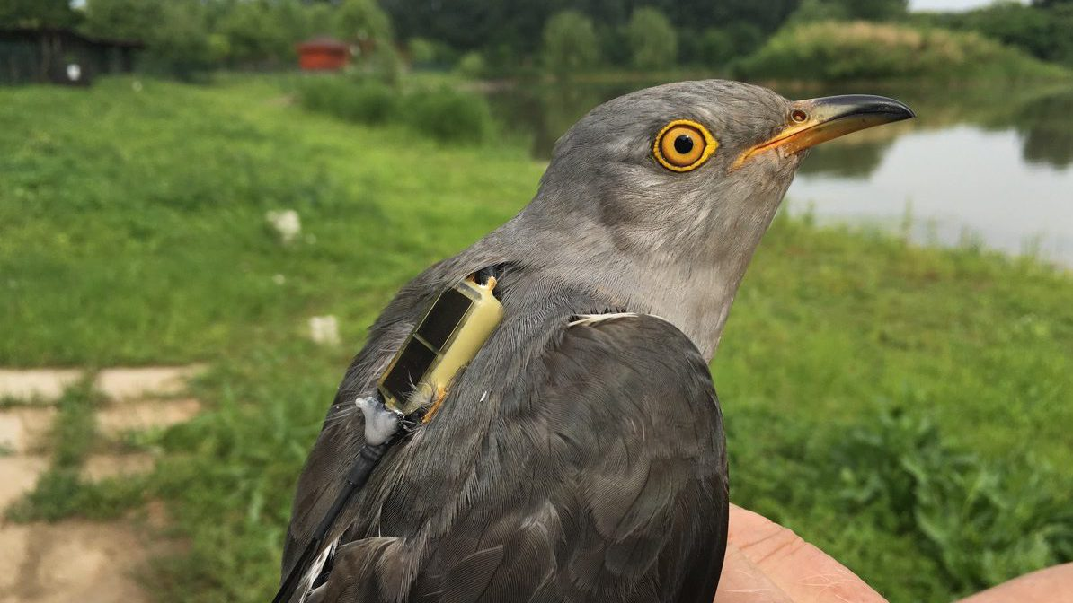 Skybomb Bolt, a cuckoo in the Beijing Cuckoo Project.