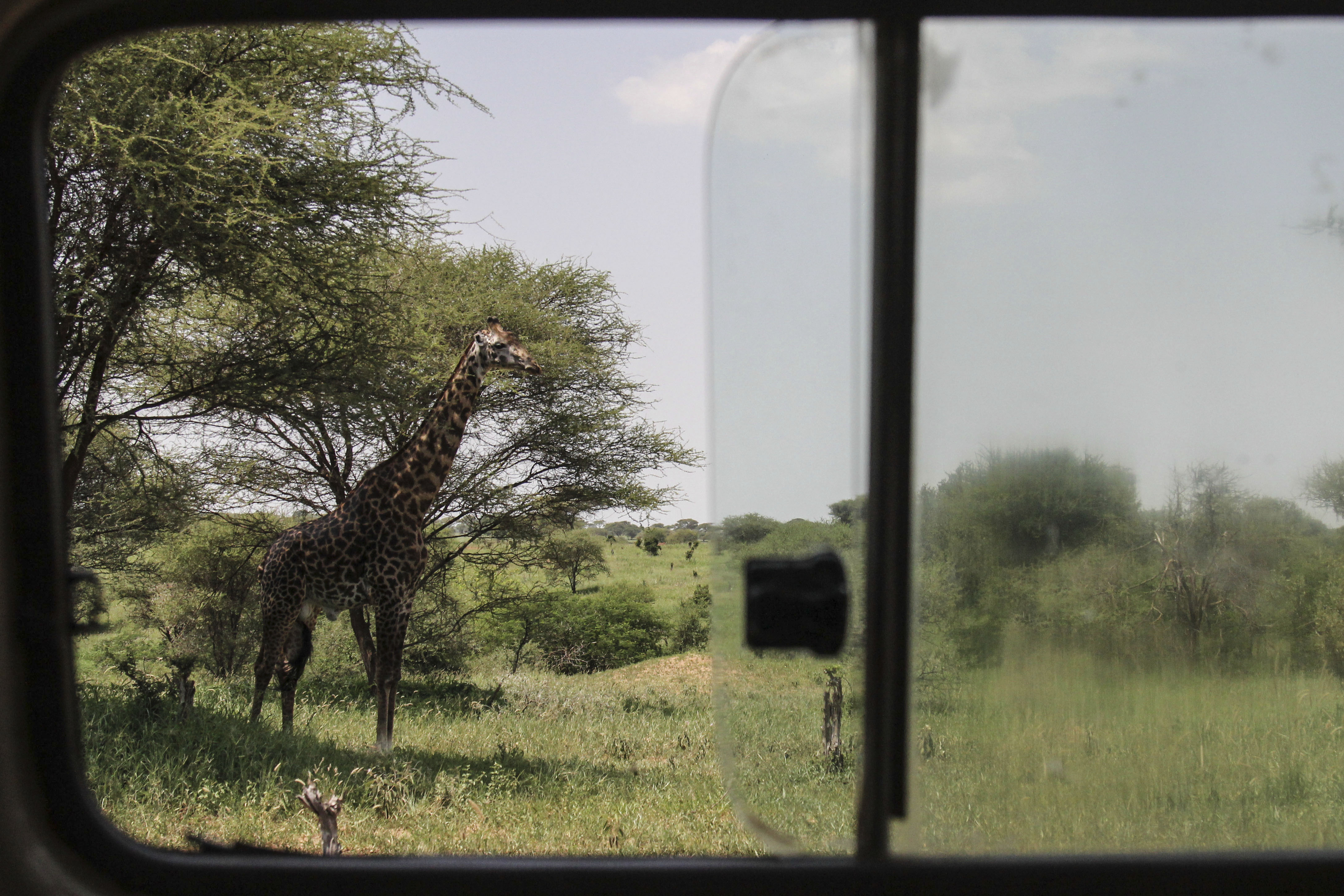 Giraffes face extinction as their numbers decline rapidly due to shrinking habitats