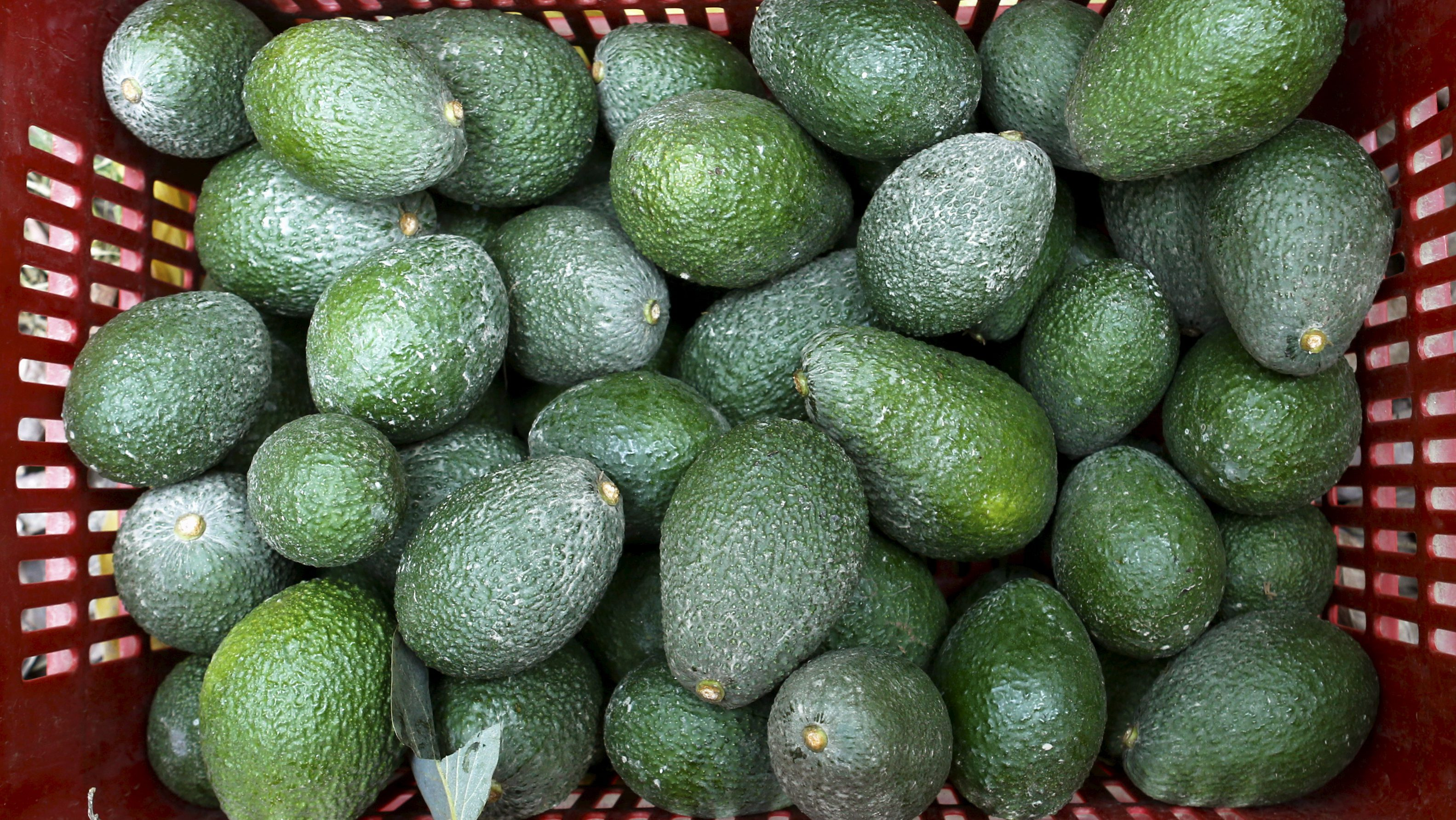 Avocados are seen at a packaging warehouse of Hoja Redonda plantation in Chincha, Peru, September 3, 2015. The eighth World Avocado Congress, an event dedicated to production, export and marketing of Hass avocados, will be held in Peru from September 13 to September 18. Peru is the second largest exporter of Hass avocados in the world, according to local media.