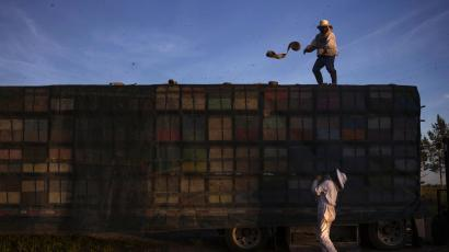 Beekeepers secure a cover over bee hives stacked on a truck as they prepare to transfer the bees to another crop after they completed pollinating a blueberry field near Columbia Falls, Maine.