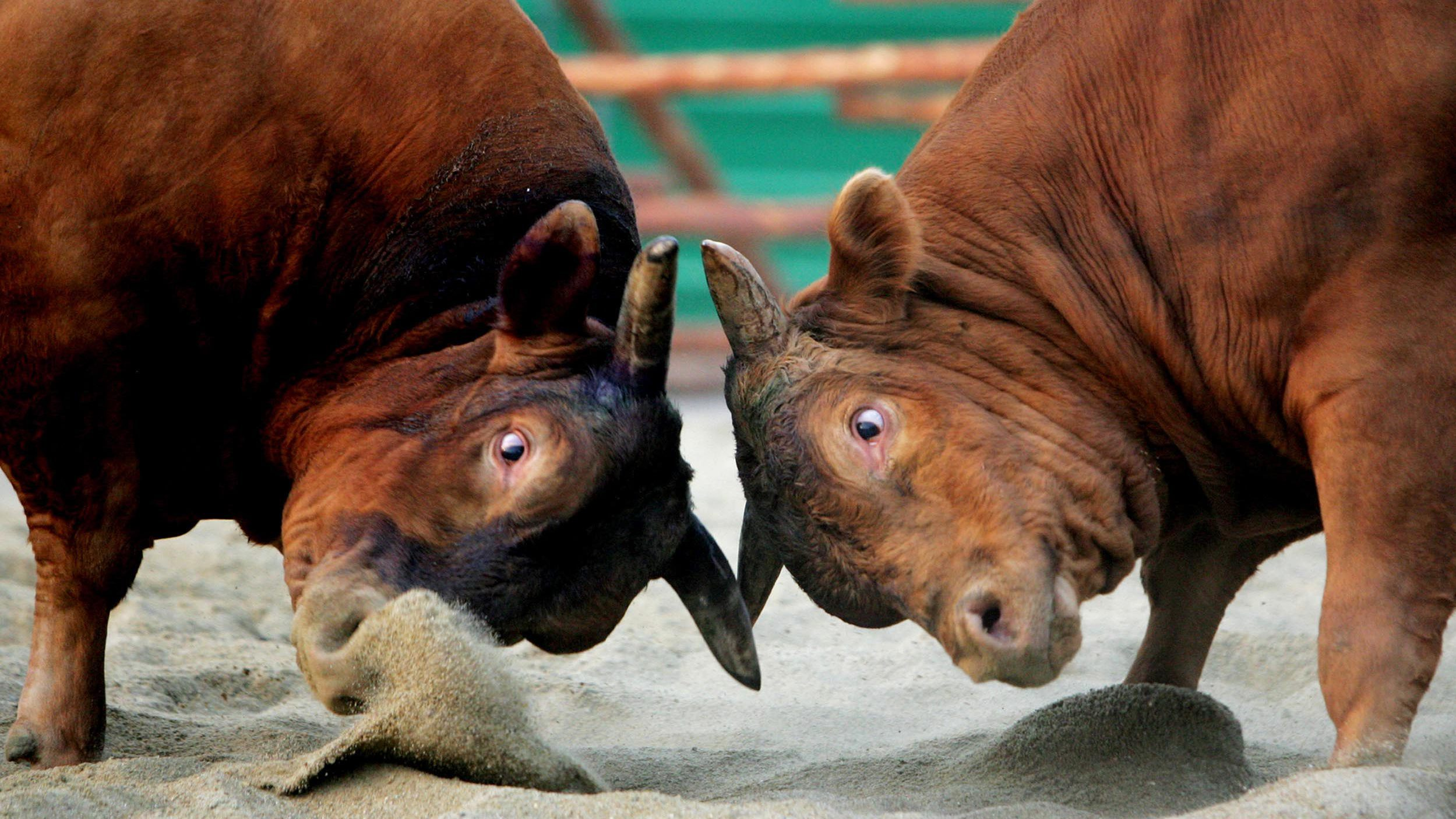 South Korean fighting bulls lock horns with each other during a 2005 Seoul bullfighting festival April 30, 2005. About 100 domestic fighting bulls participated in the traditional tournament ending on May 15.