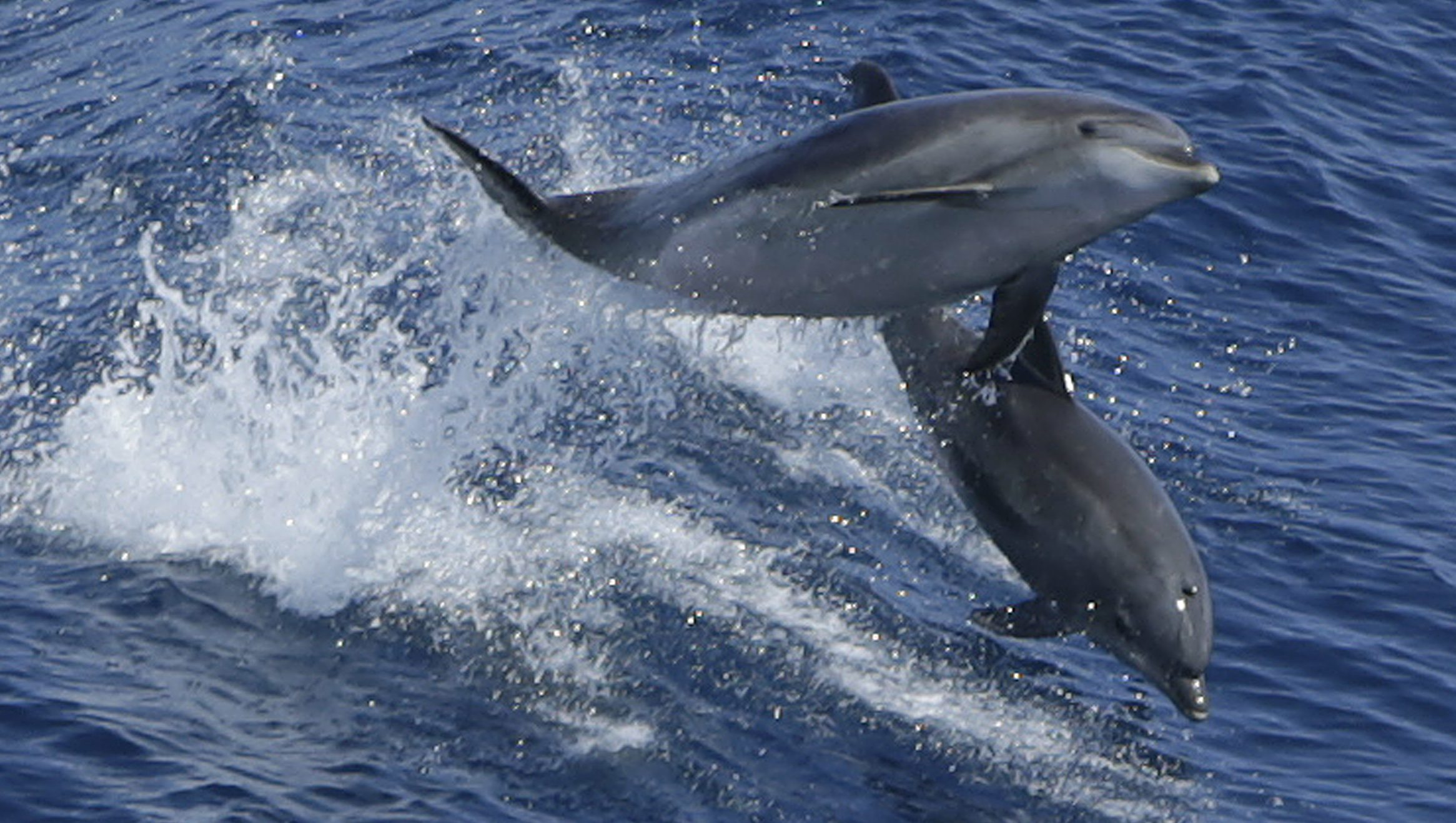A pair of dolphins leap in the wake of Royal Caribbean cruise line ship 'Grandeur of the Seas' July 18, 2013 in the Atlantic Ocean between Bermuda and the United States main land.