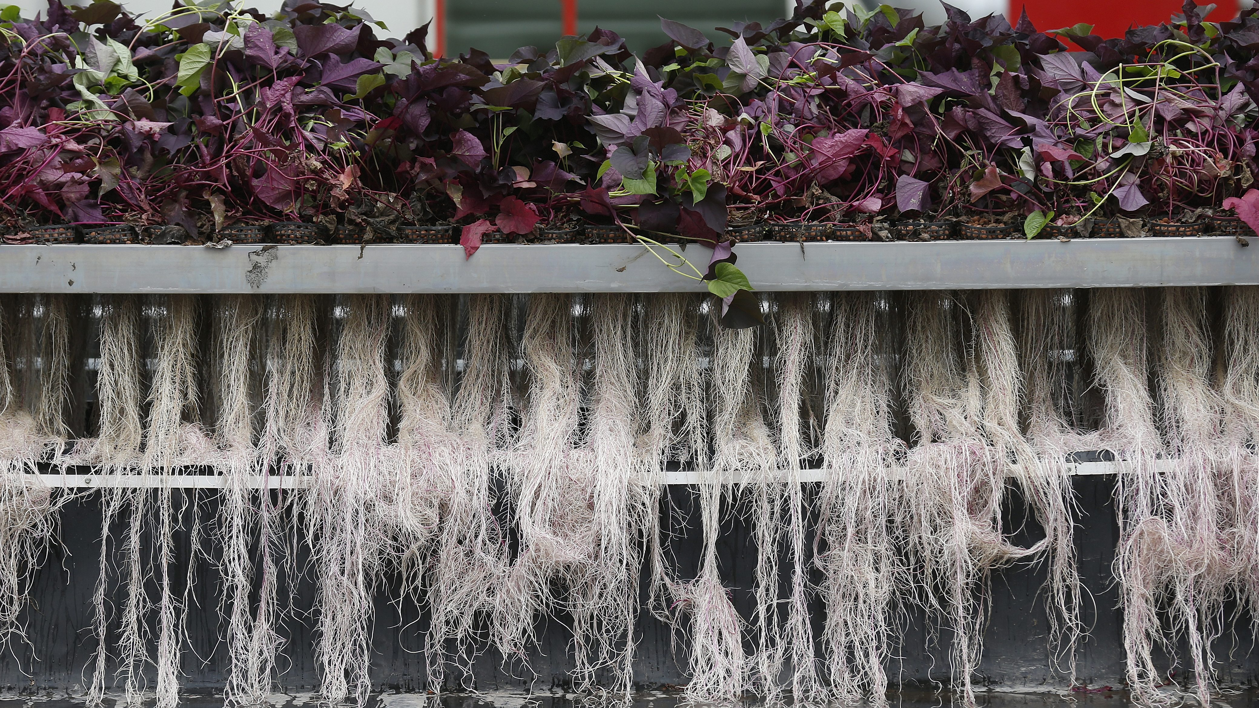 Plants roots are pictured during an exudation process at the Plant Advanced Technologies (PAT) company greenhouse in Laronxe near Nancy, Eastern France, June 19, 2015.