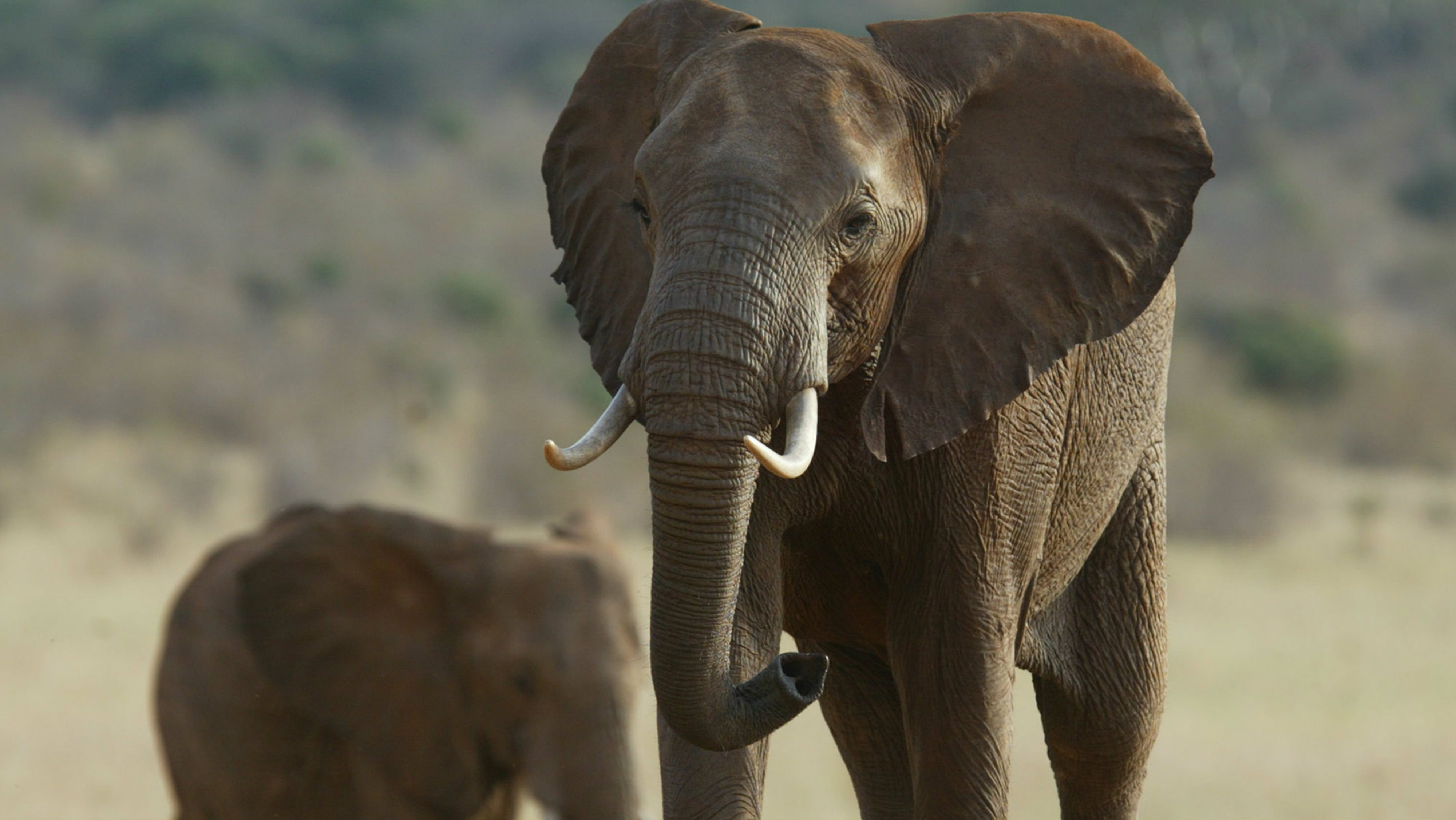 In this May 26, 2005 file photo, an elephant strolling through the dusty in Tsavo East National Park, Kenya. Some African elephant herds are adapting to the danger of poaching by moving out of risky areas, according to one conservation group. The plight of elephants is a key issue at the meeting of the Convention on International Trade in Endangered Species of Wild Fauna and Flora, or CITES, which began over the weekend and ends Oct. 5.