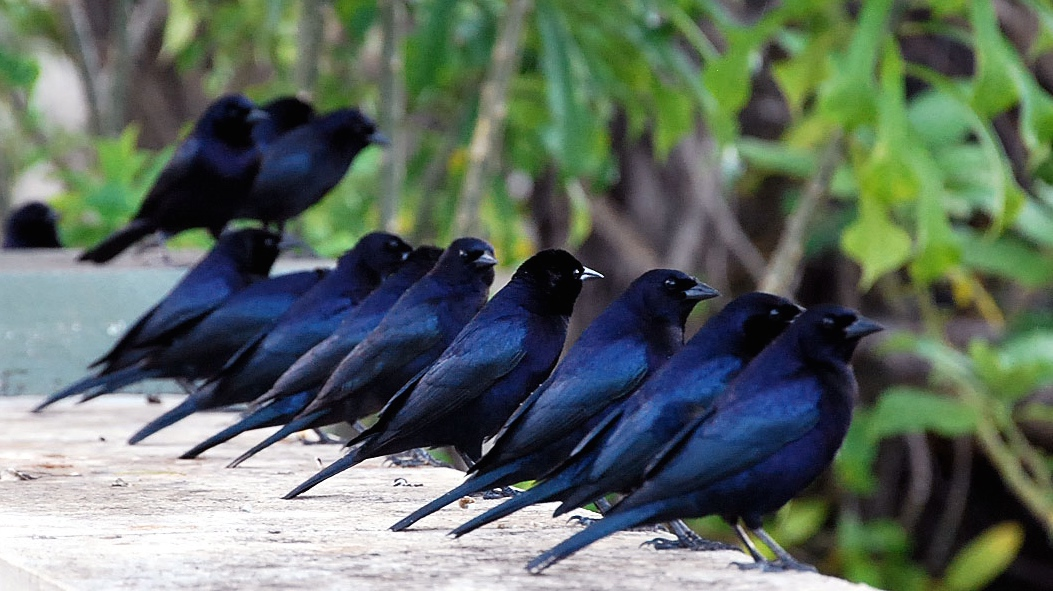 Shiny cowbirds, or molothrus bonariensis.