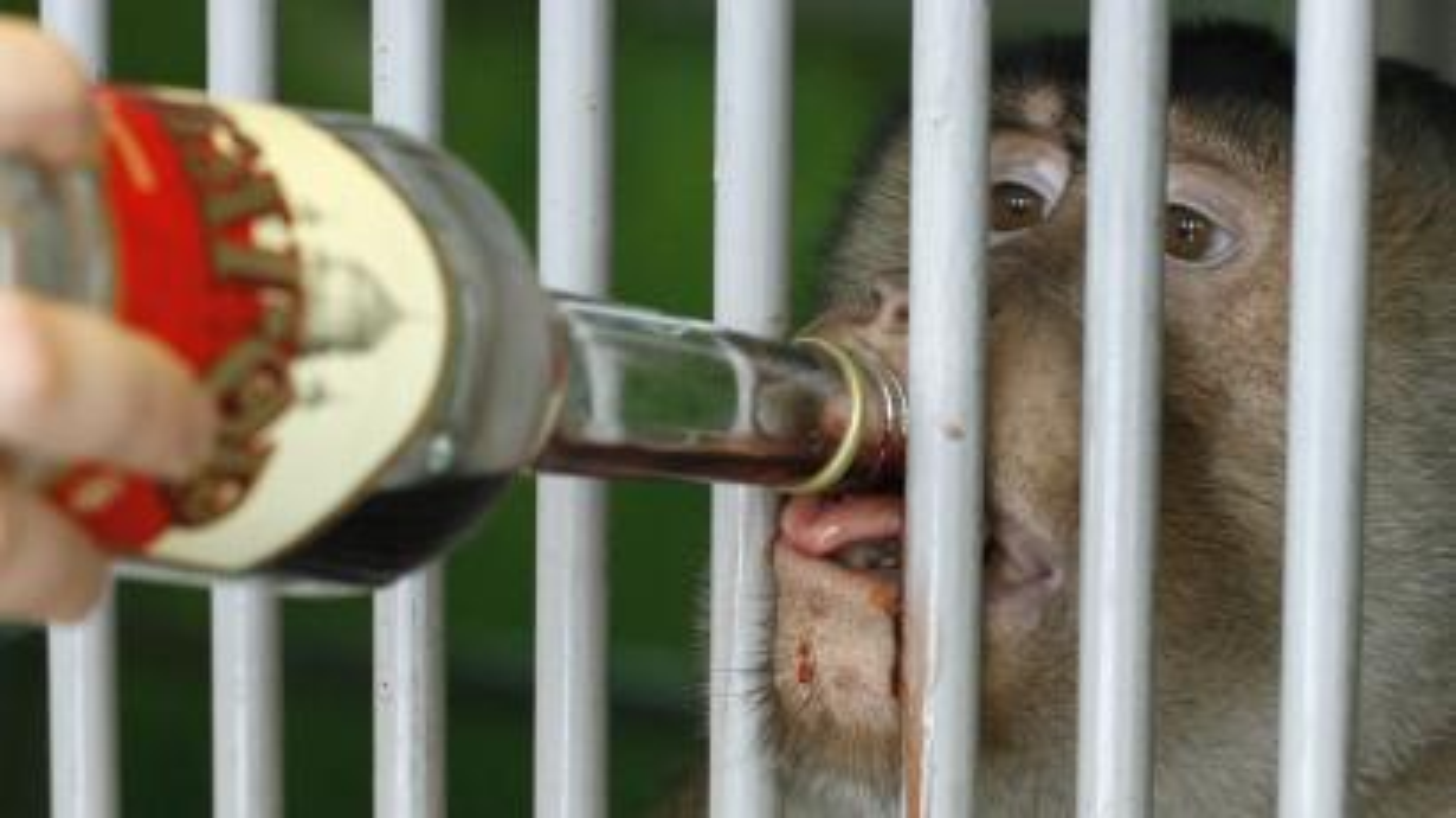 Monkey drinking wine