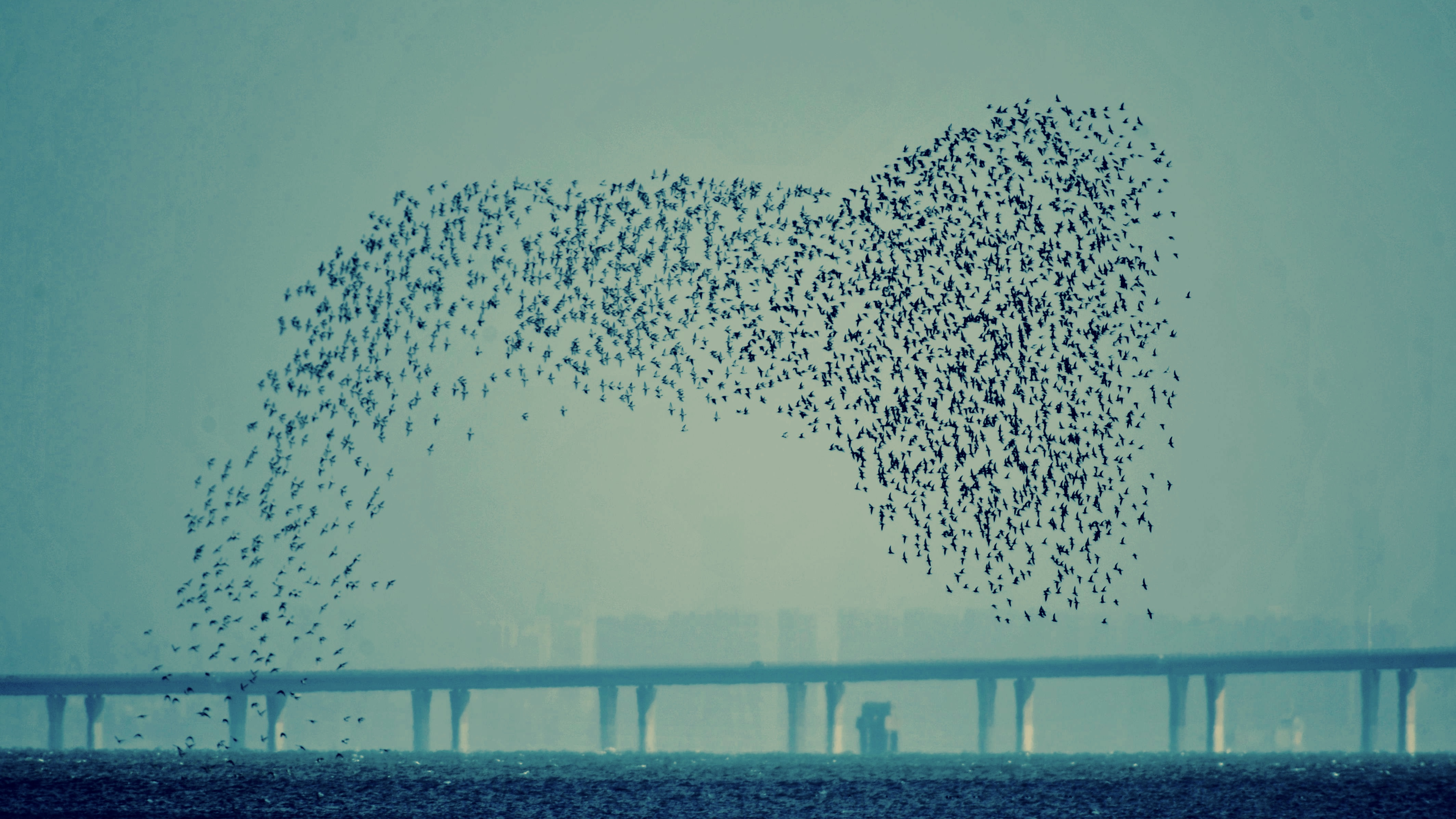 A murmuration of migrating oystercatchers in Qingdao.