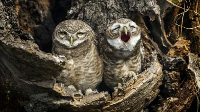 Two owls sit in a tree. The one on the right appears to be yawning.