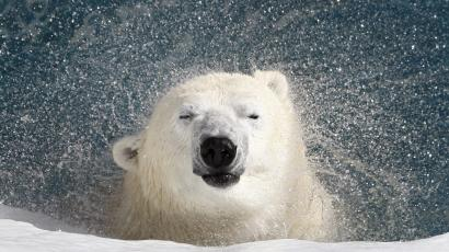 Polar bear shaking itself.