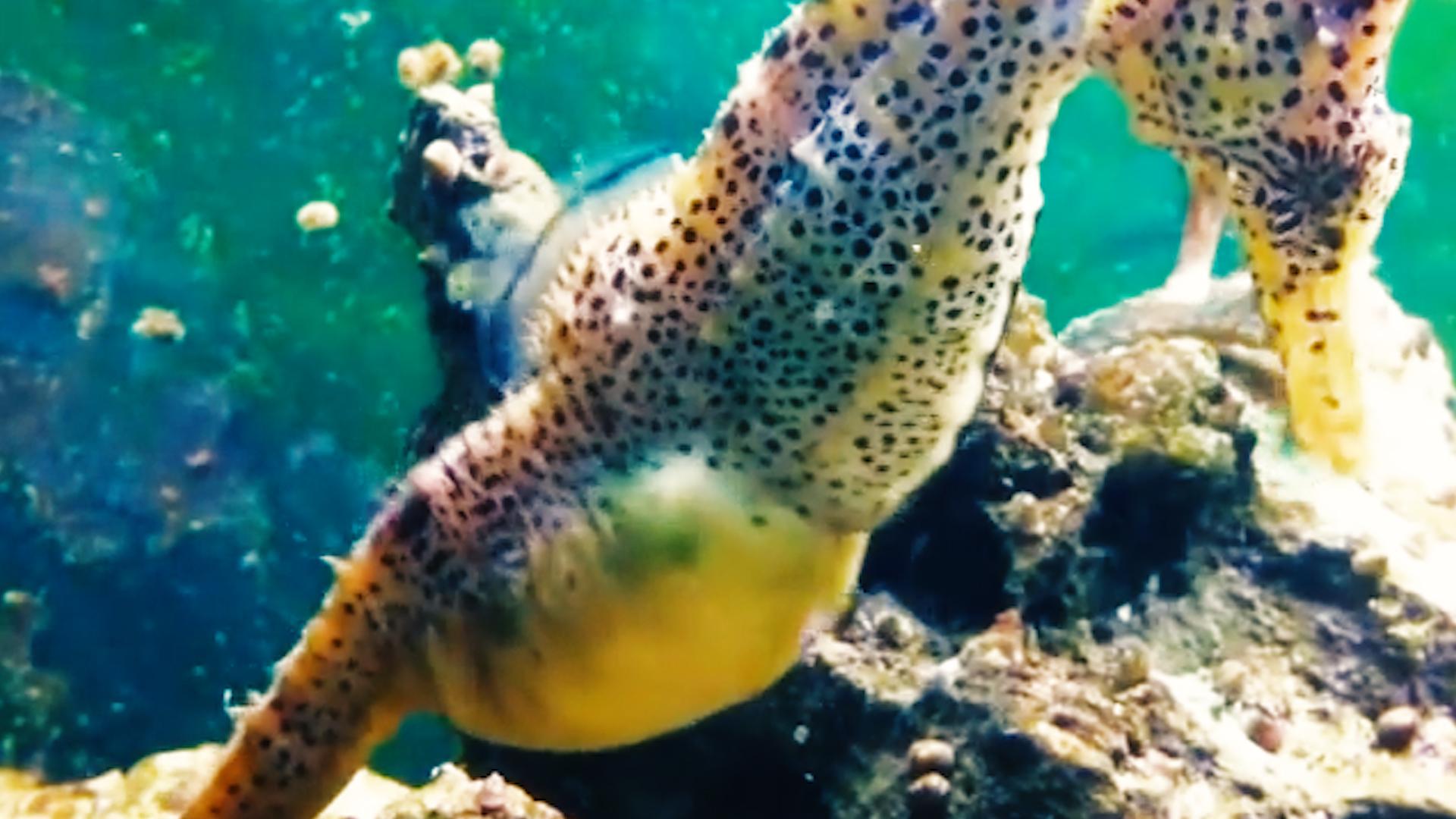 Male seahorse pregnancy