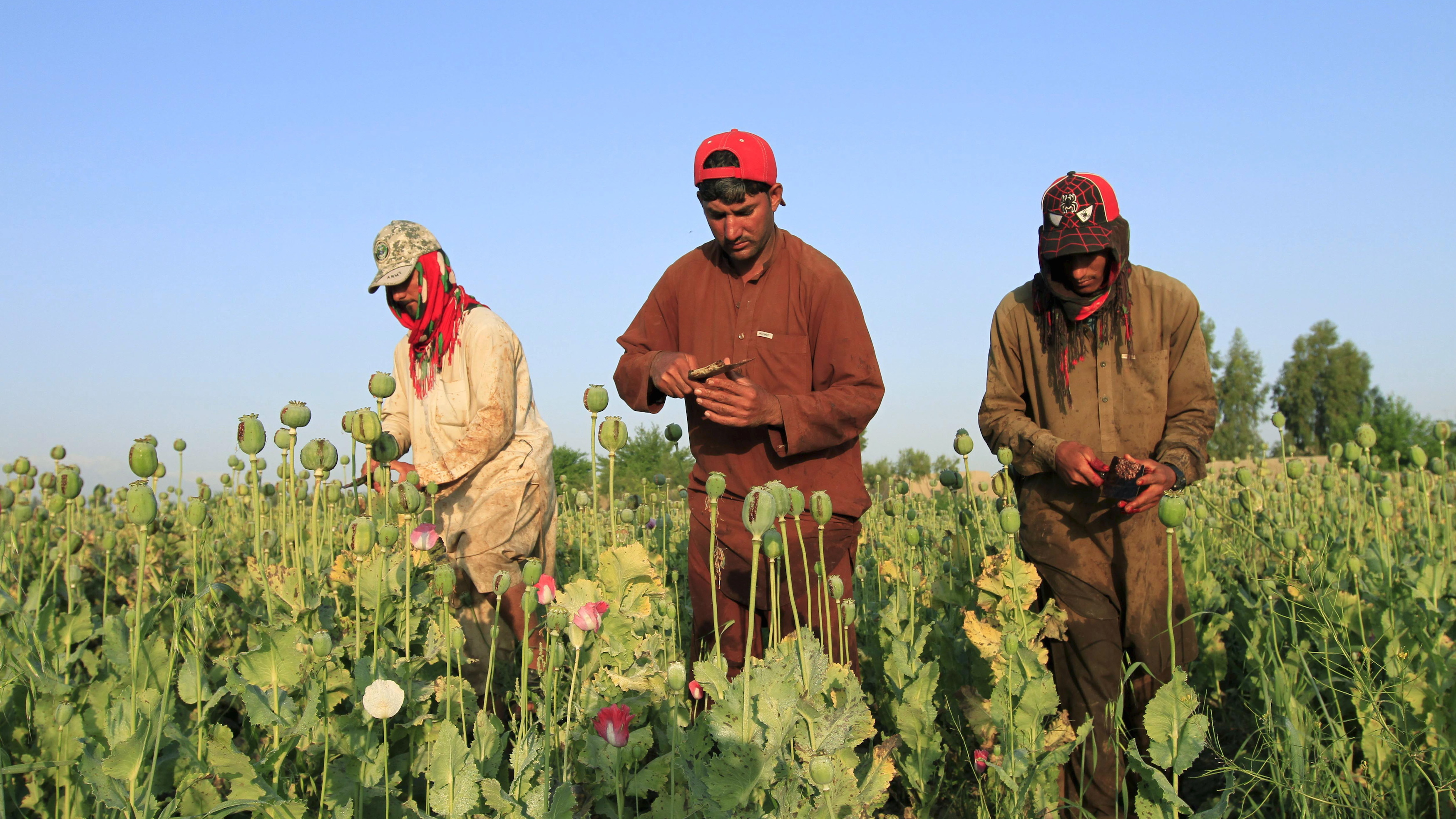 Afghan poppy farmers