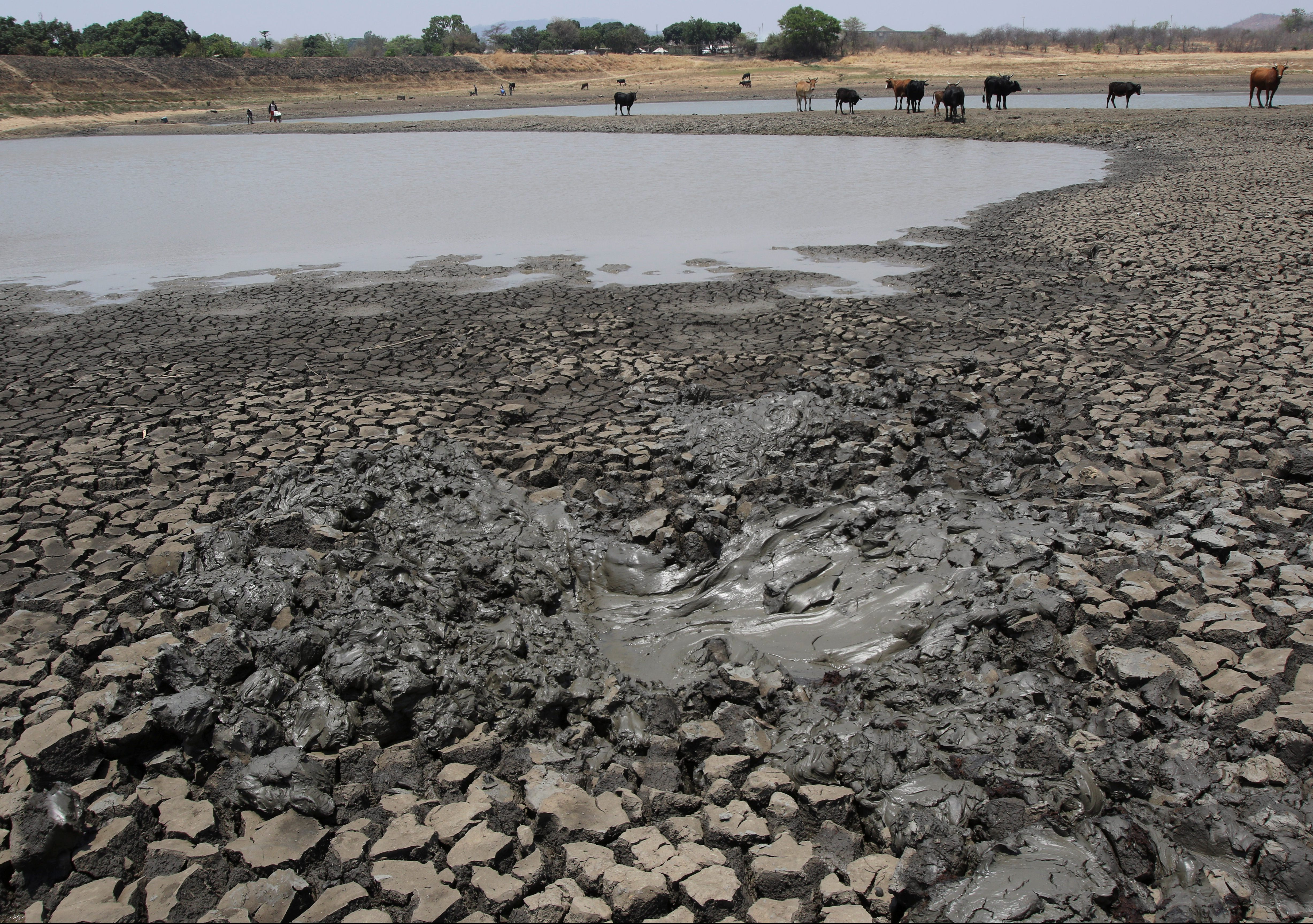 Cattle stand over cracked earth as water levels drop in a dam near Mount Darwin, Zimbabwe, October 26, 2016. Picture taken October 26, 2016. REUTERS/Philimon Bulawayo - RTX2QUTK