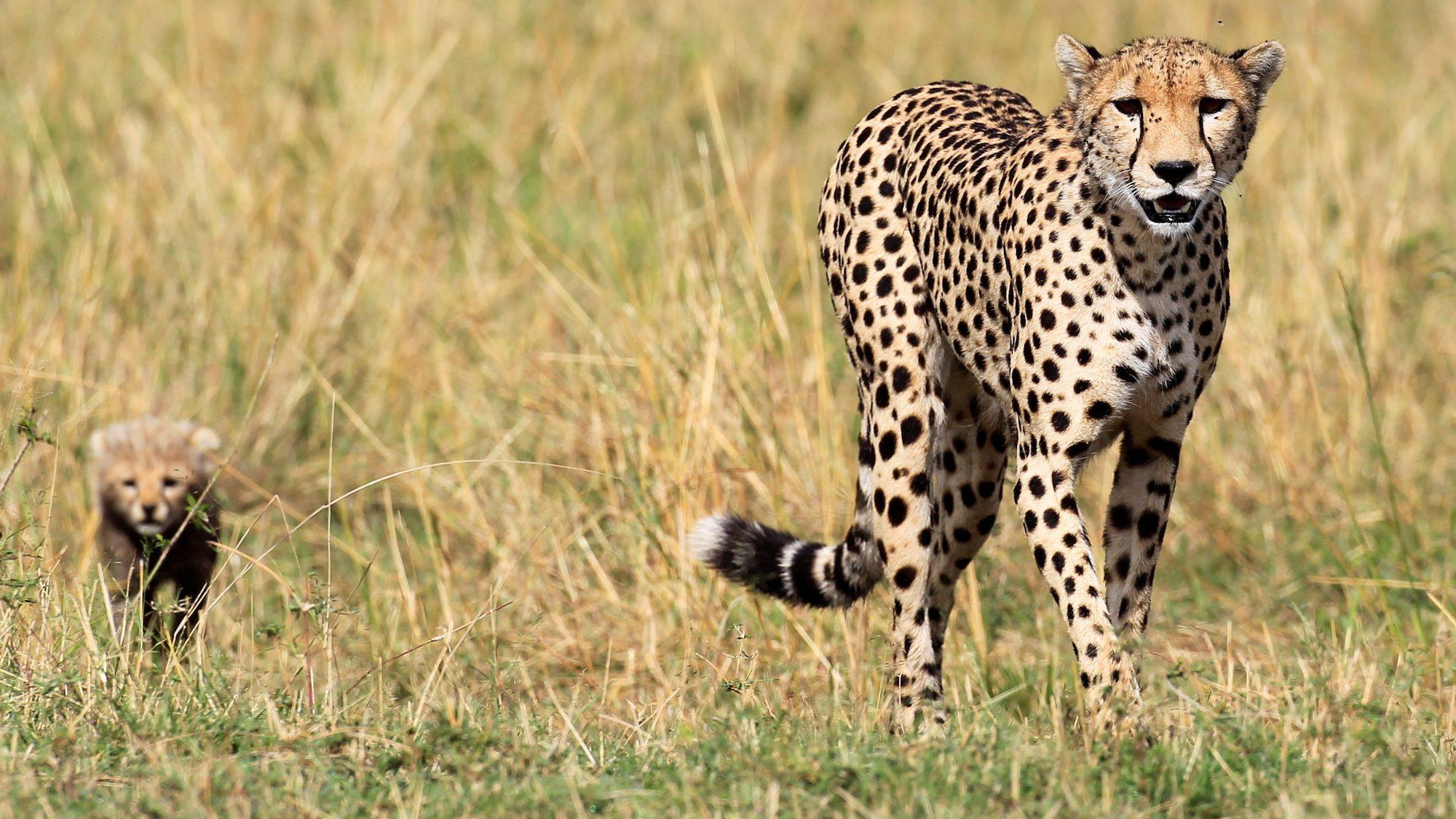 A cheetah and her cub walk on the plains in Masai Mara game reserve, Southwest of Kenya's capital Nairobi