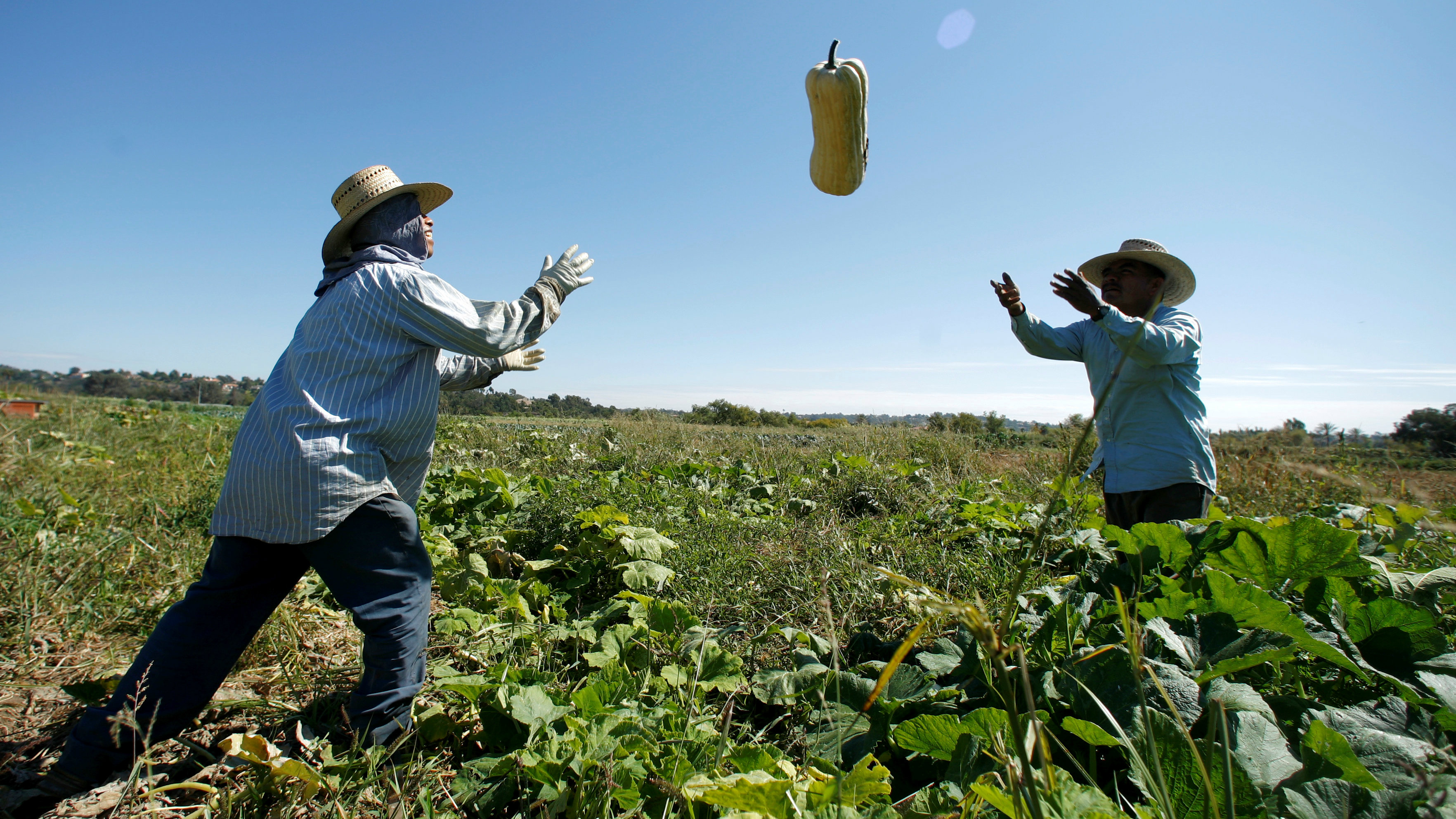 Farm workers harvest squash from the Chino Farm in Rancho Santa Fe
