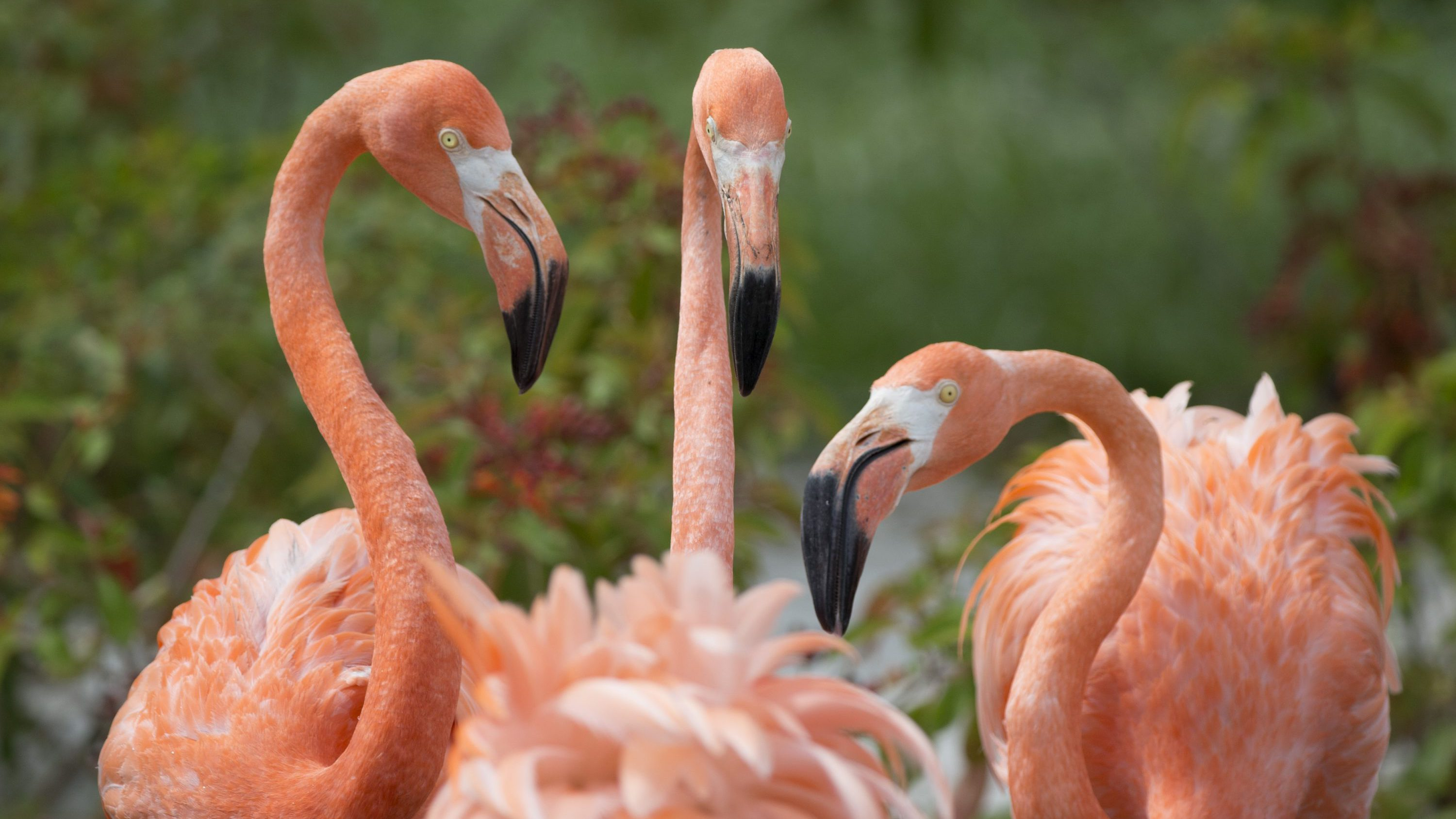 American flamingos gather in their exhibit space at Zoo Miami, Friday, July 15, 2016, in Miami. Zoo Miami unveiled its new $19 million, 1.5 acre entry plaza Friday. (AP Photo/Wilfredo Lee)