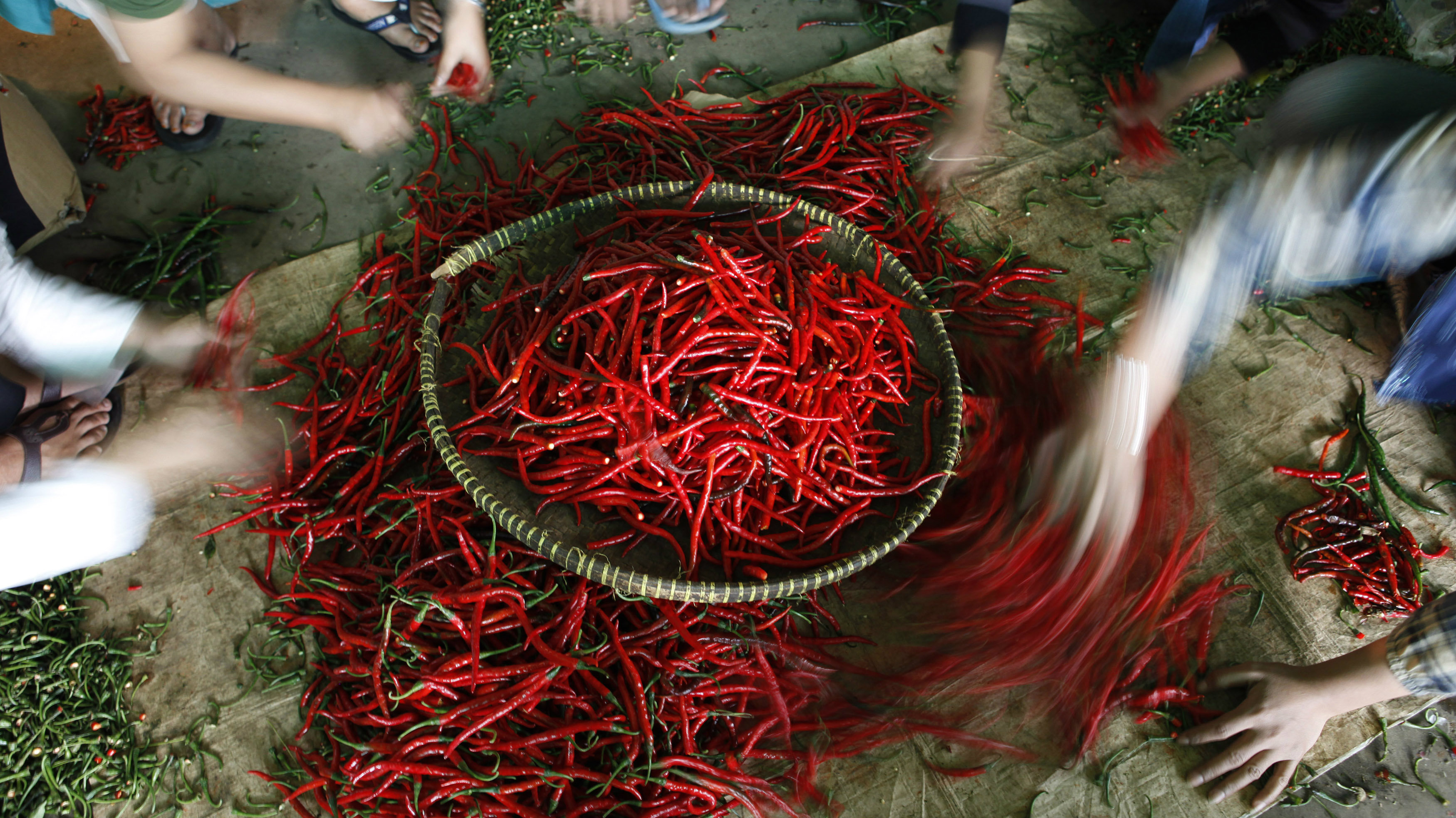 Workers select chillies in a stall at the Kramat Jati vegetable distributors centre in Jakarta January 11, 2011. Rising chilli and rice prices helped push up Indonesia's annual inflation to a 20-month high near 7 percent in December, and spurred the country's president and trade minister to urge households to plant food, such as chilli, at home. Global food prices hit a record last month, outstripping levels that prompted riots in 2008, and key grains could climb even further as weather patterns give cause for concern, the United Nations food agency said last Wednesday.