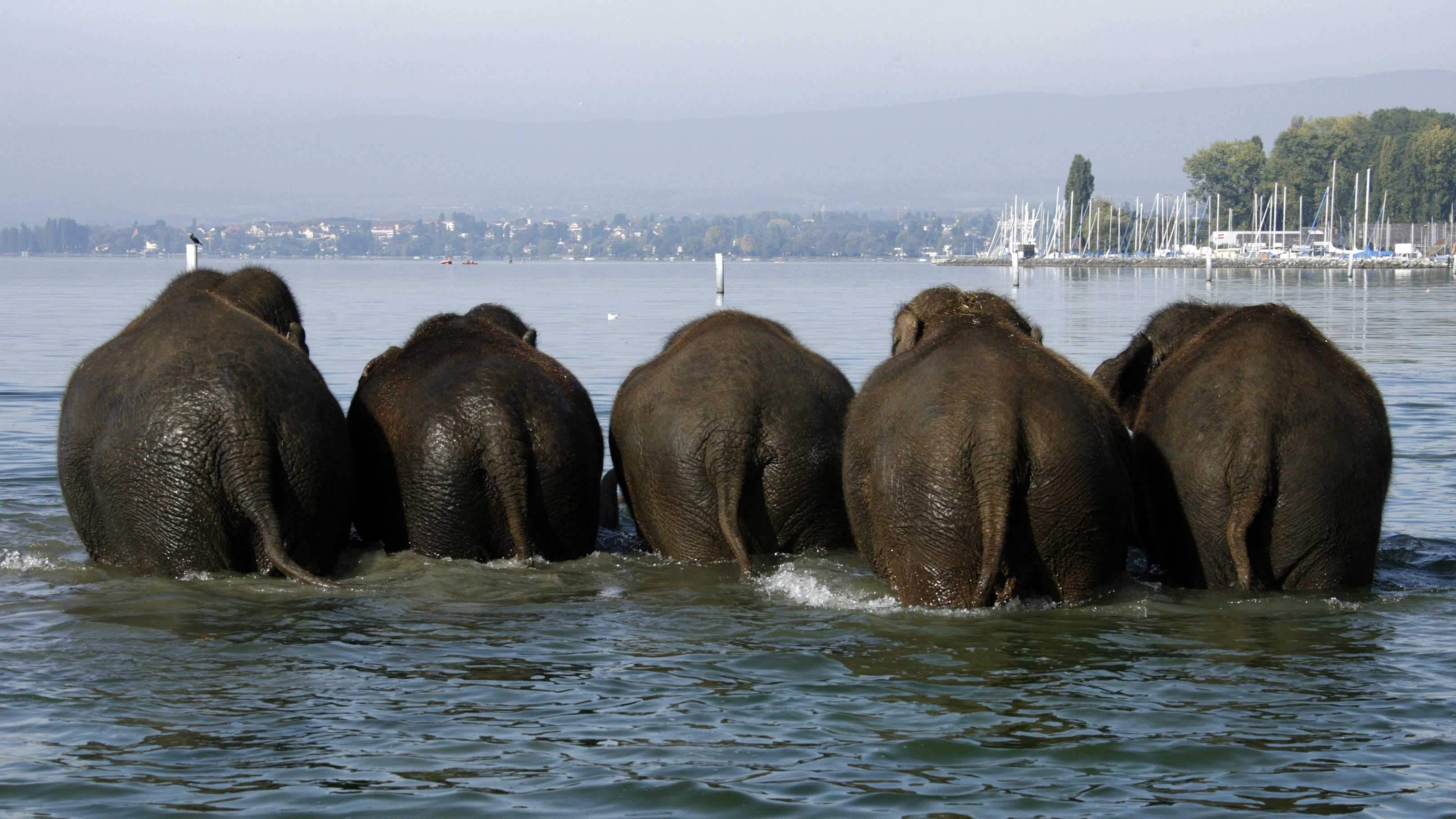 Elephants of the Swiss national circus Knie play in the Lake Leman during an event in Lausanne October 3, 2007.