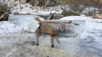 A block of ice with a frozen fox