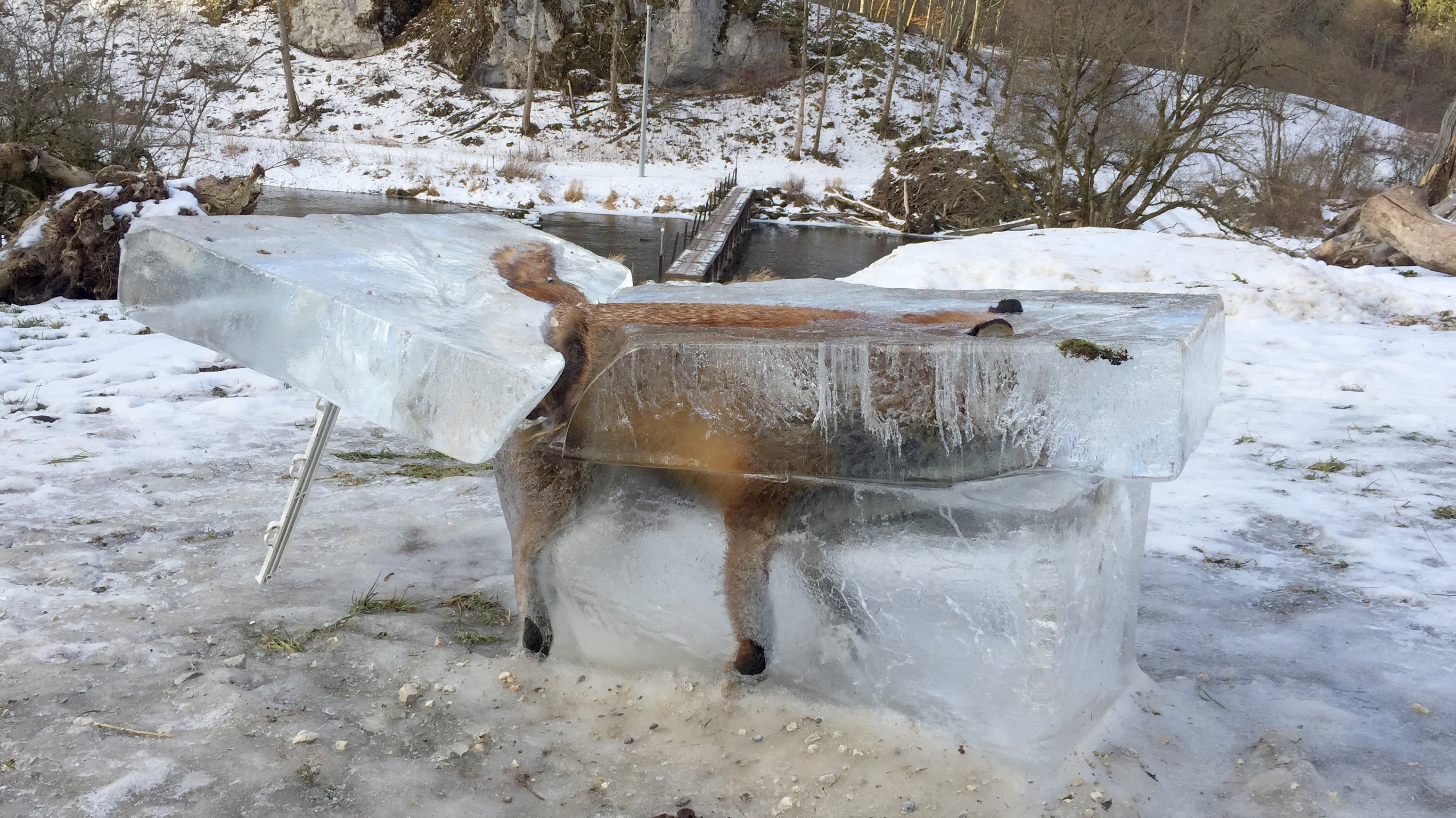 A block of ice with a frozen fox can be seen in Fridingen, Germany, 13 January 2017. The animal broke through the thin ice on the Donau river and drowned. Photo: Johannes Stehle/dpa