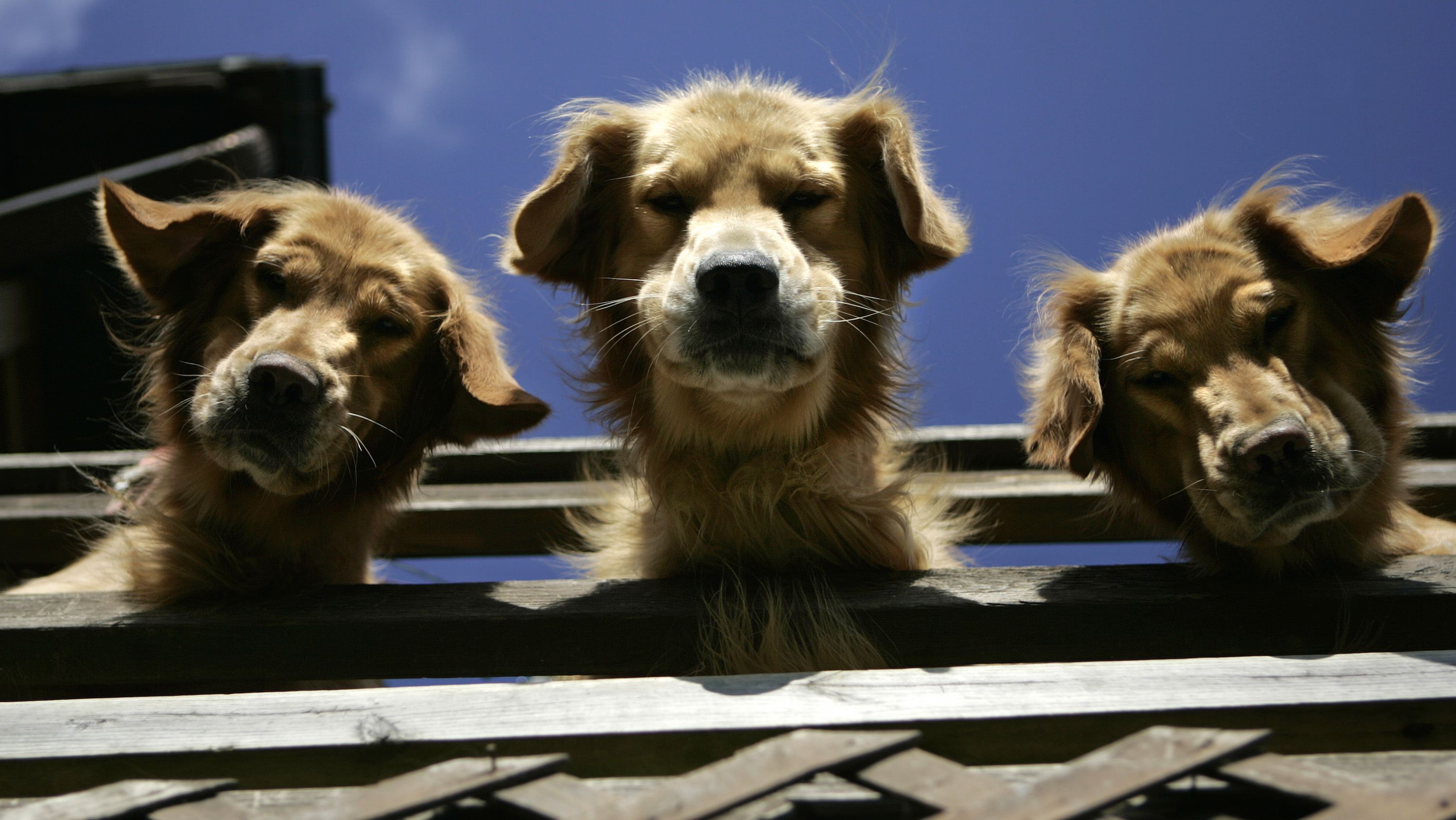 Golden retrievers look down from the deck at  Mountain View Kennels in Williamsburg, Pa., Wednesday, Nov. 2, 2005. Mountain View Kennels, a respected breeder, will face the same regulations as the notorious puppy mills as  members of Congress begin to tackle the puppy mill issue Tuesday during a Senate Agriculture Subcommittee on Research, Nutrition and General Legislation.