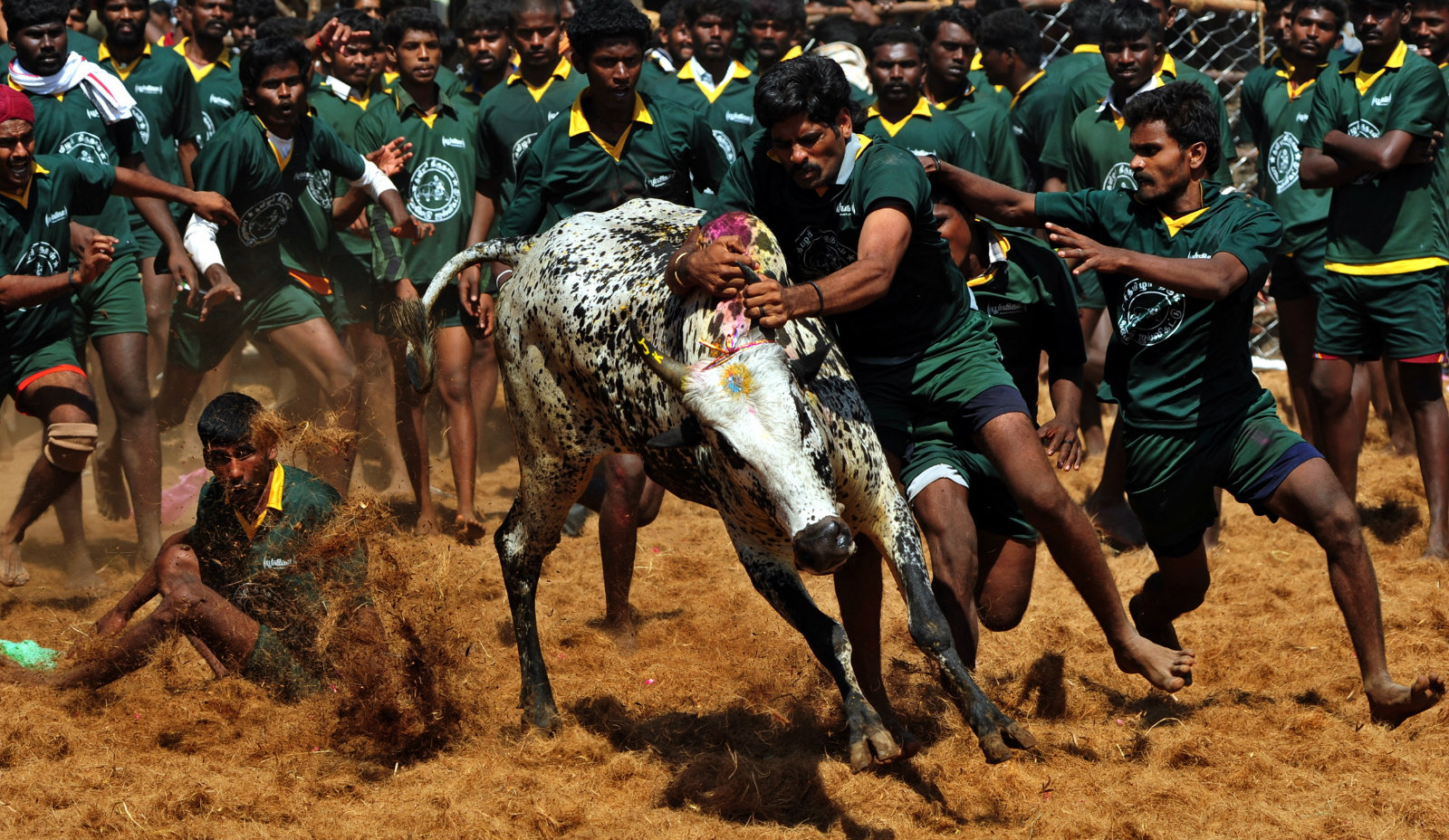India-bulls-taming-jallikattu