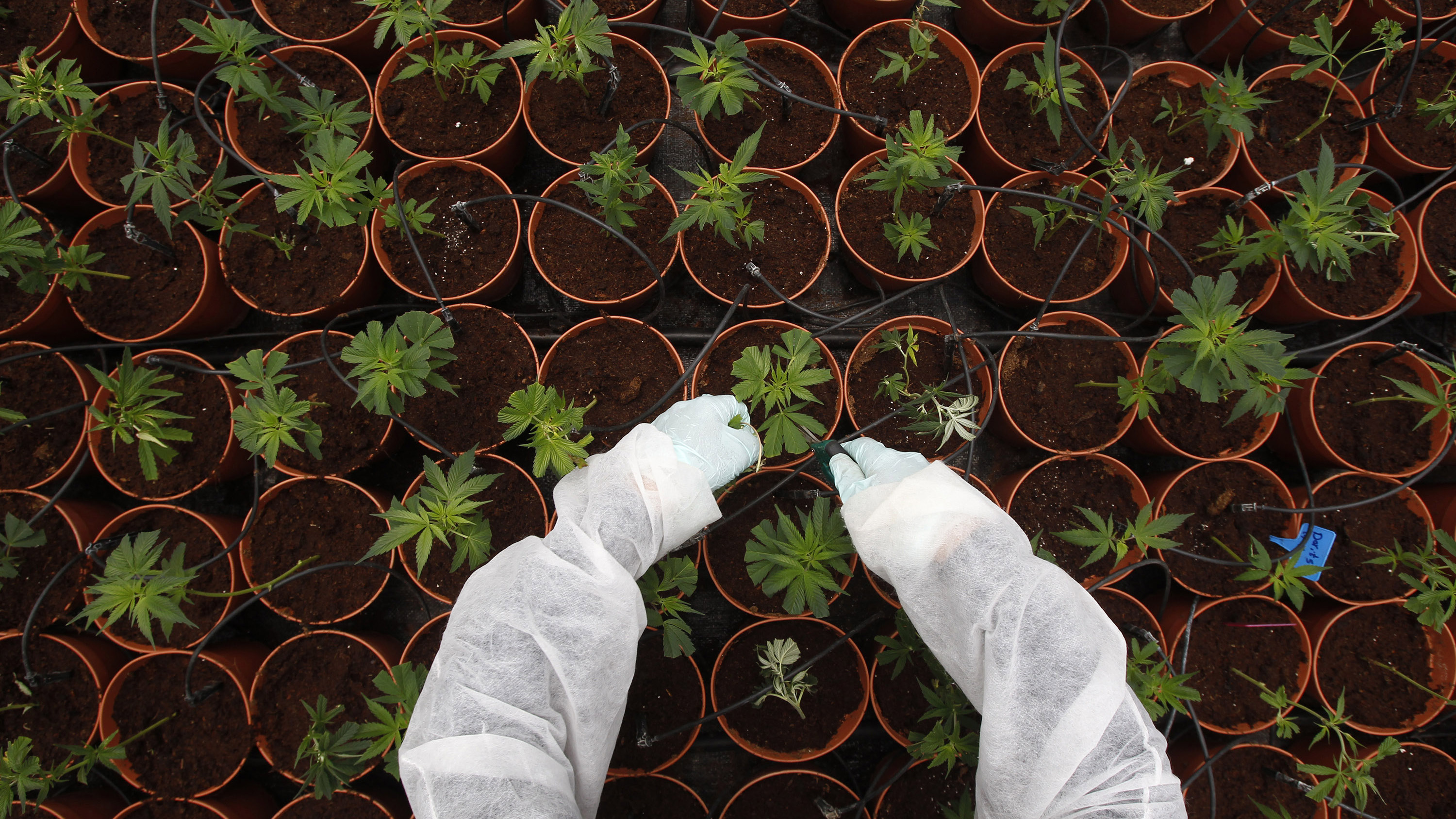 A worker tends to cannabis plants at a plantation near the northern Israeli city of Safed June 11, 2012. It is here, at a medical marijuana plantation atop the hills of the Galilee, where researchers say they have developed marijuana that can be used to ease the symptoms of some ailments without getting patients high. Picture taken June 11, 2012. REUTERS/Baz Ratner (ISRAEL - Tags: HEALTH DRUGS SOCIETY TPX IMAGES OF THE DAY) - RTR34J7Q