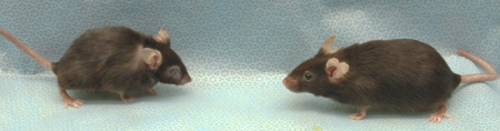 These two mice are siblings, born in the same litter. (Their age is equivalent to 70 human years.) But the mouse on the right had its senescent cells regularly cleared, while the—much more sickly—one on the left did not.
