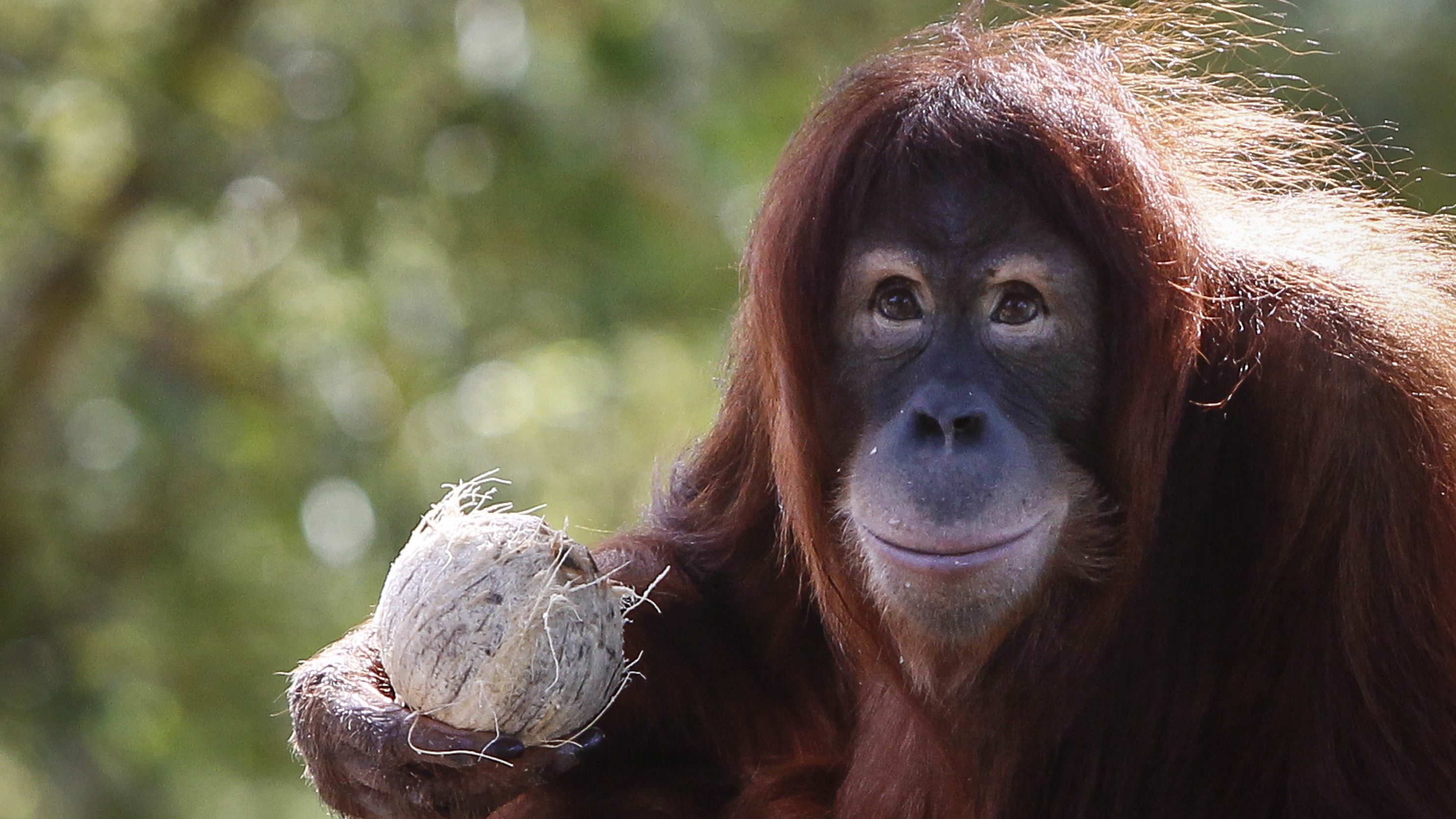 Tsunami, an eleven year old female Sumatran Orangutan eats fruit during her birthday celebration at the National Zoo Ape Center in Kuala Lumpur, Malaysia, Thursday, Dec. 31, 2015.