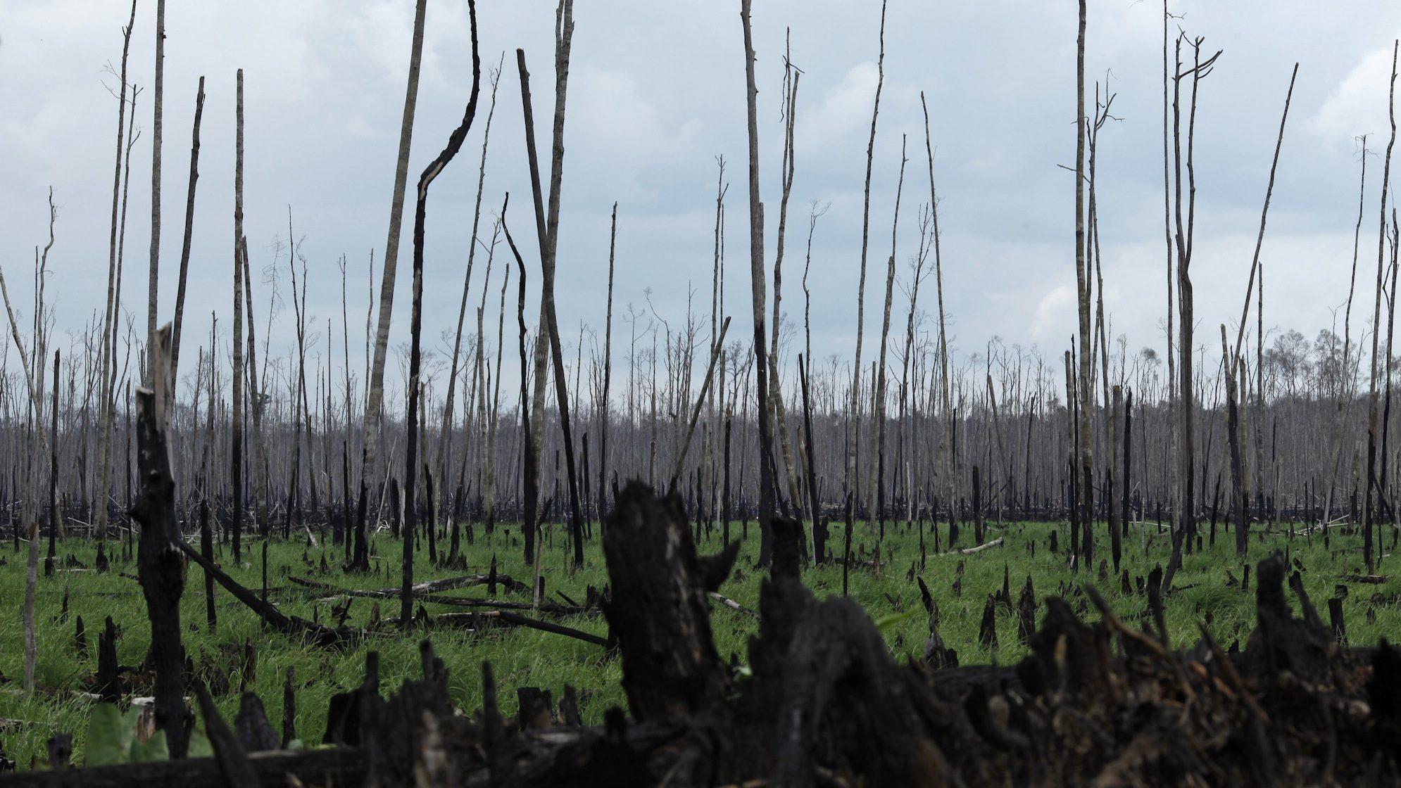 A view of burned trees at a peatland area of Teluk Meranti village in Pelalawan