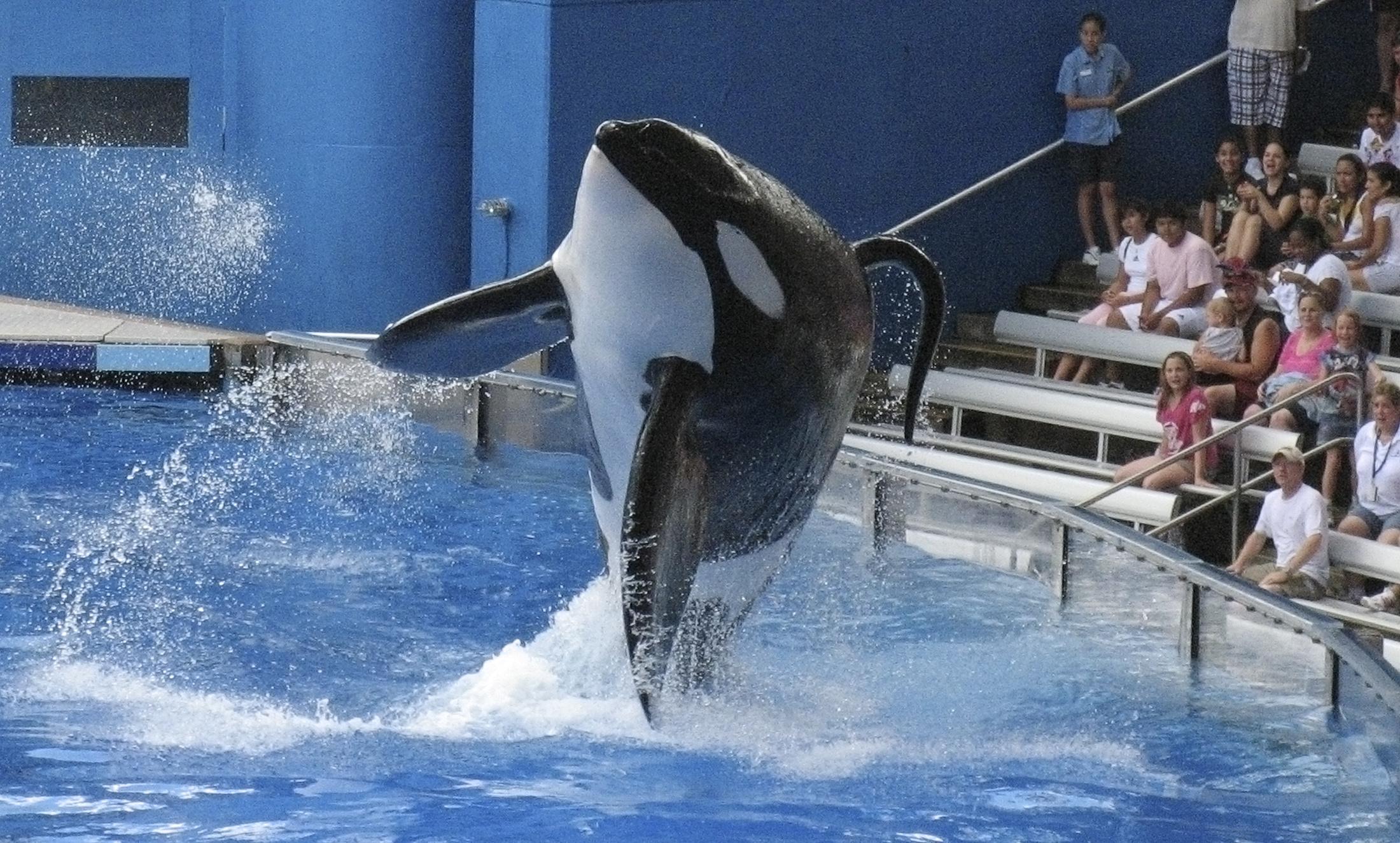 "FILE PHOTO - SeaWorld killer whale Tilikum performs during the show ""Believe"" at SeaWorld Orlando in Orlando, Florida, U.S. on September 3, 2009.  REUTERS/Mathieu Belanger/File Photo - RTX2XSCC"