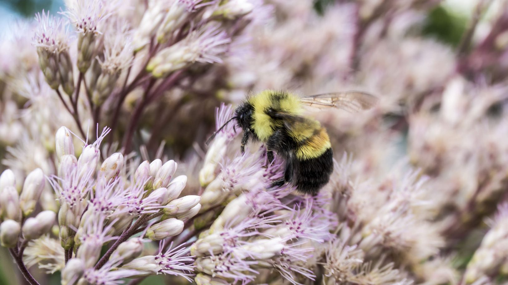 The Rusty Patched Bumble Bee (Bombus affinis), which was just put on the U. S. Endangered Species list.