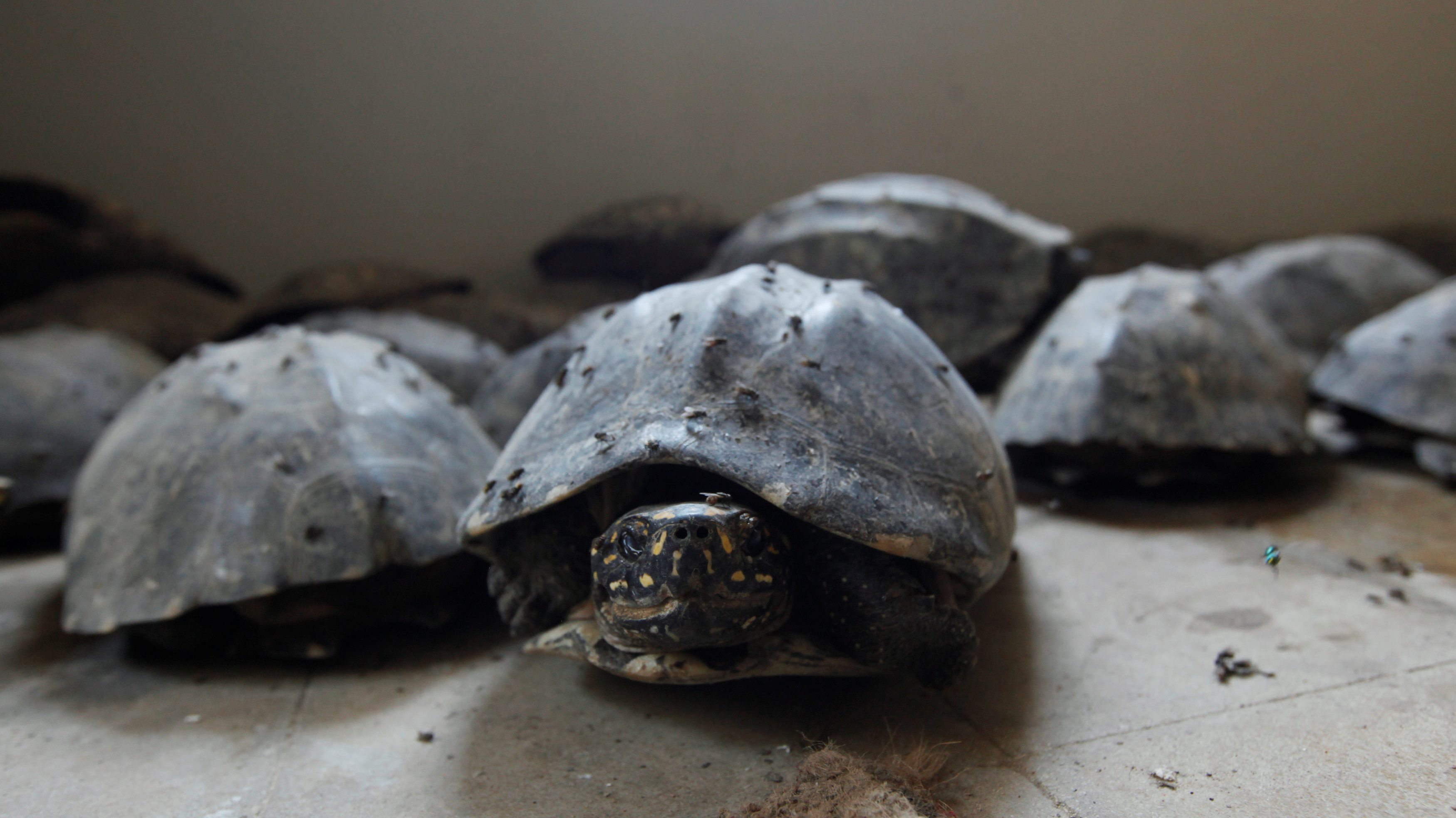 Black spotted freshwater turtles are pictured after they were seized in a raid, at Sindh Wildlife Department in Karachi, Pakistan, April 28, 2016.