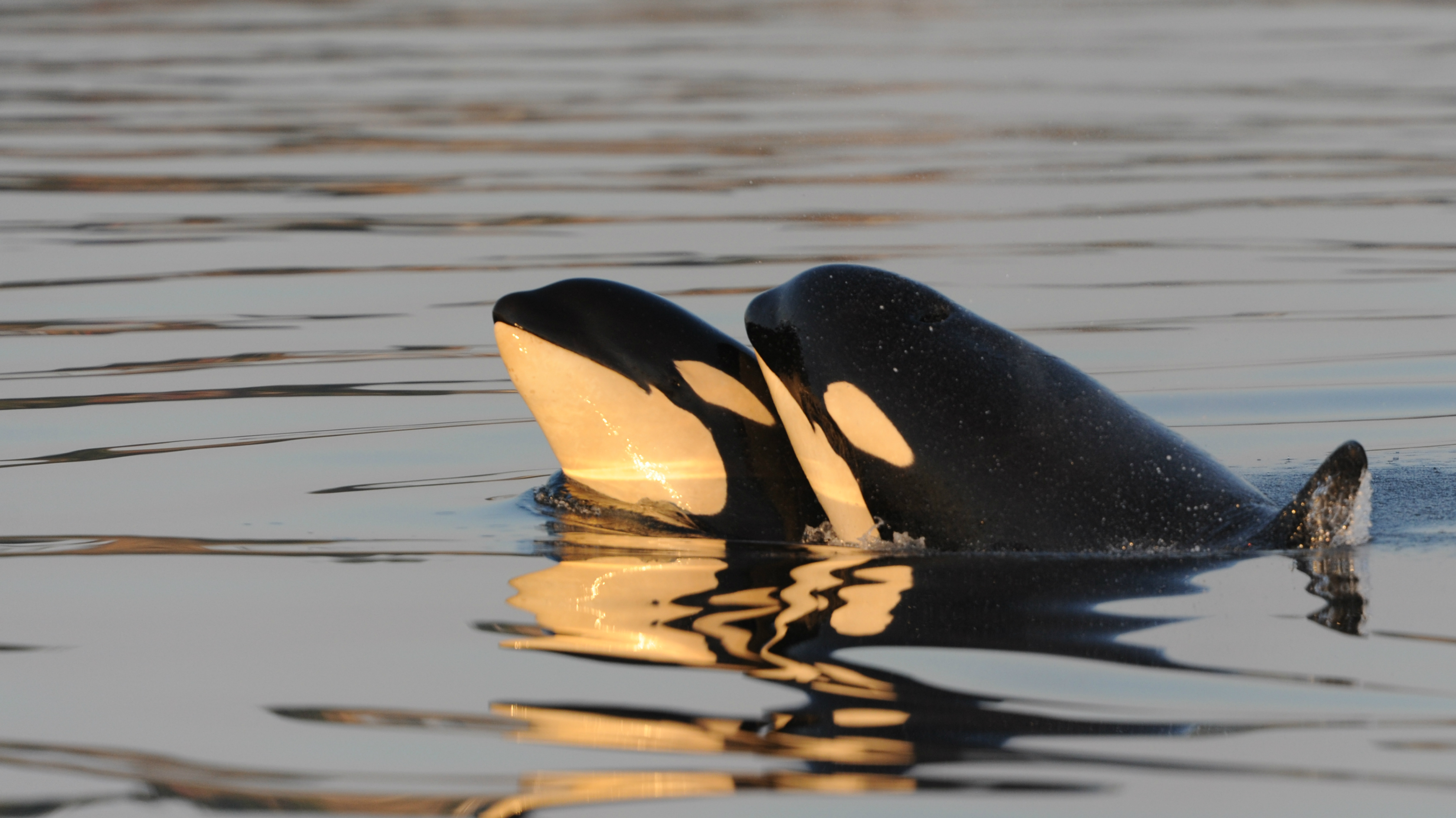 two-resident-killer-whales_copyright-kenneth-balcomb-center-for-whale-research-_20110911kcb_sj2-192