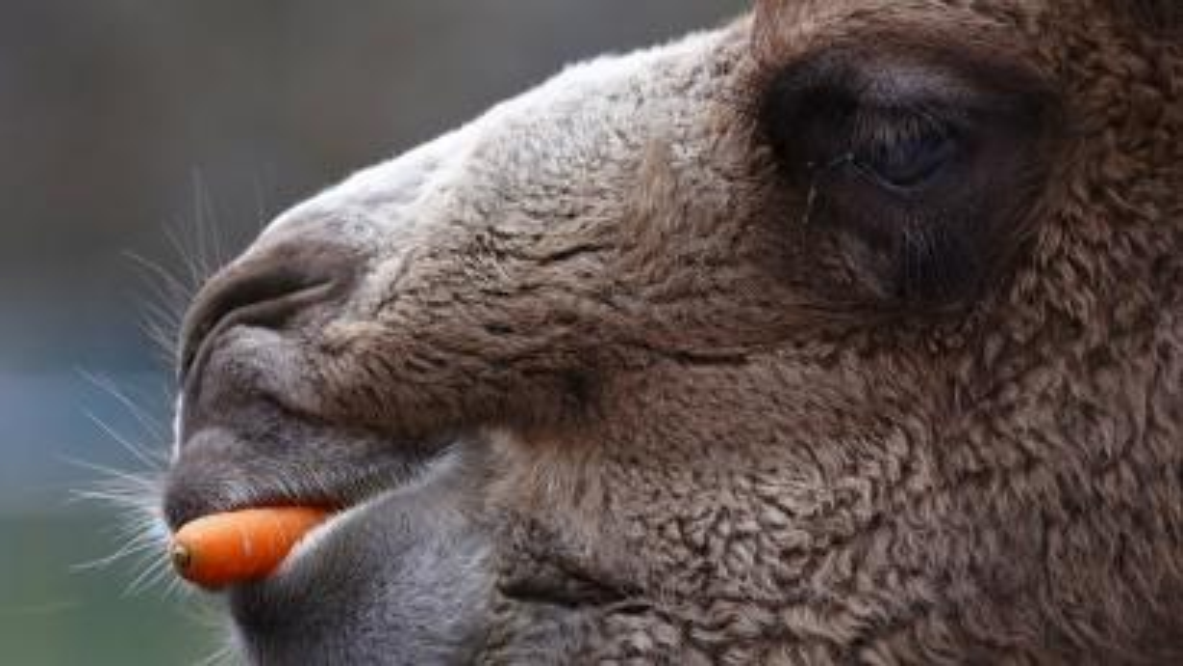 An animal eats a carrot. A vegan supermarket shutters.