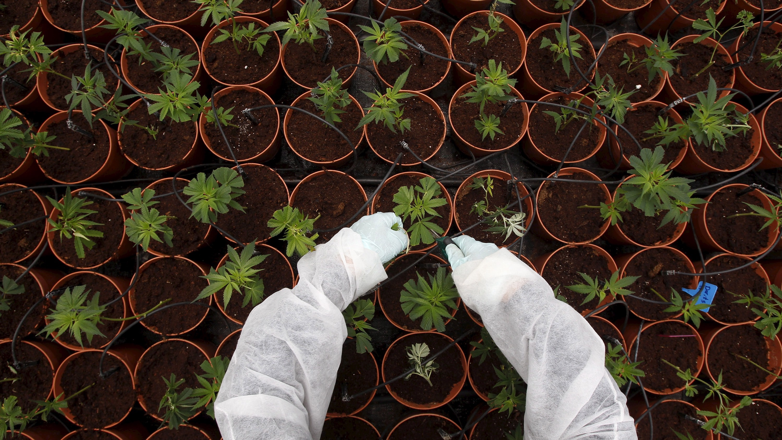 A worker tends to cannabis plants at a plantation near the northern Israeli city of Safed, in this June 11, 2012 file picture.  REUTERS/Baz Ratner/Files       TPX IMAGES OF THE DAY      - RTSCMIM