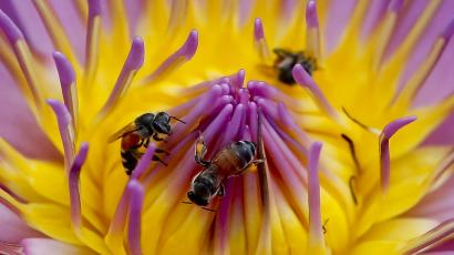 bees pollinating a bright pink and yellow flower